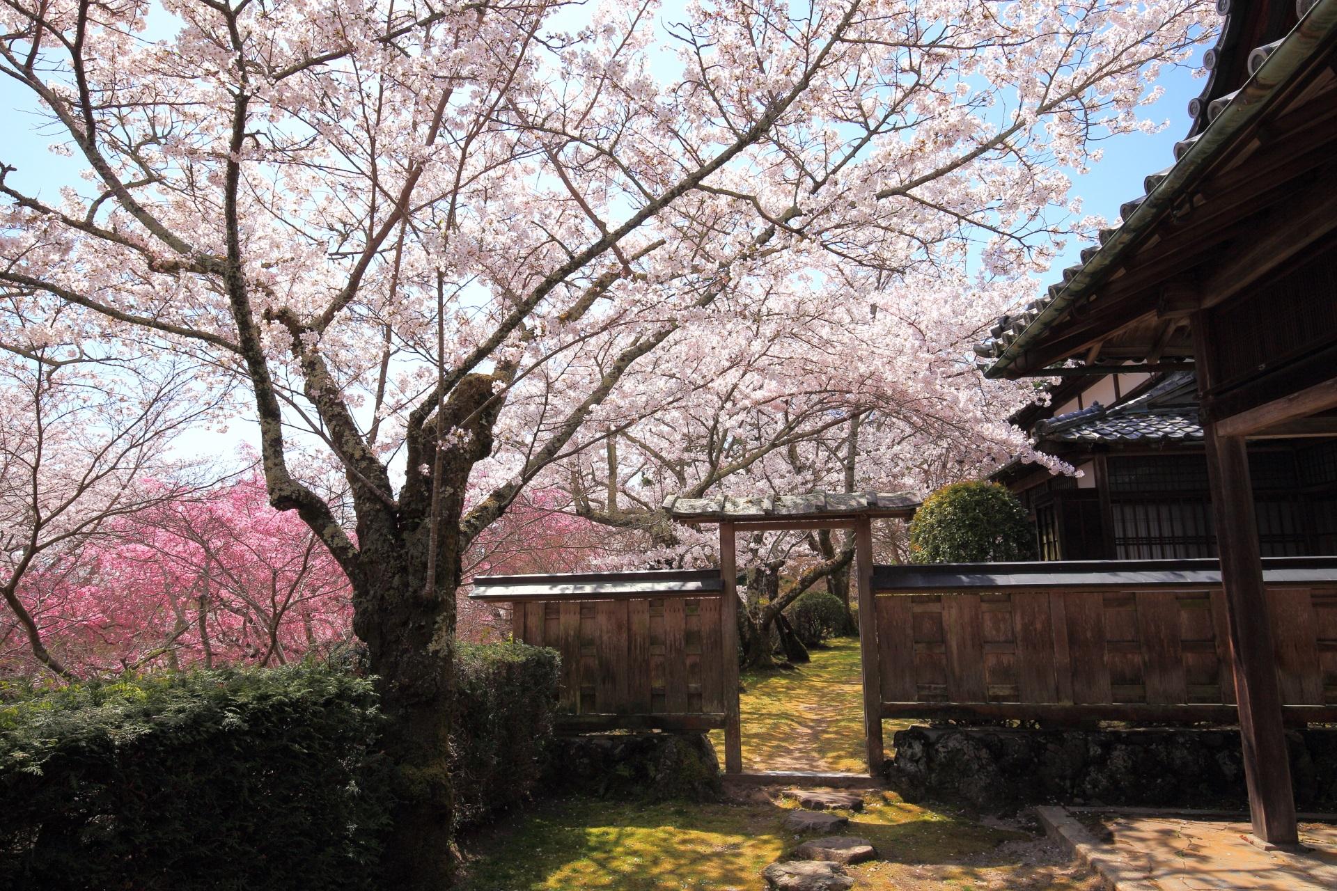 勝持寺の桜ヶ丘の上の桜