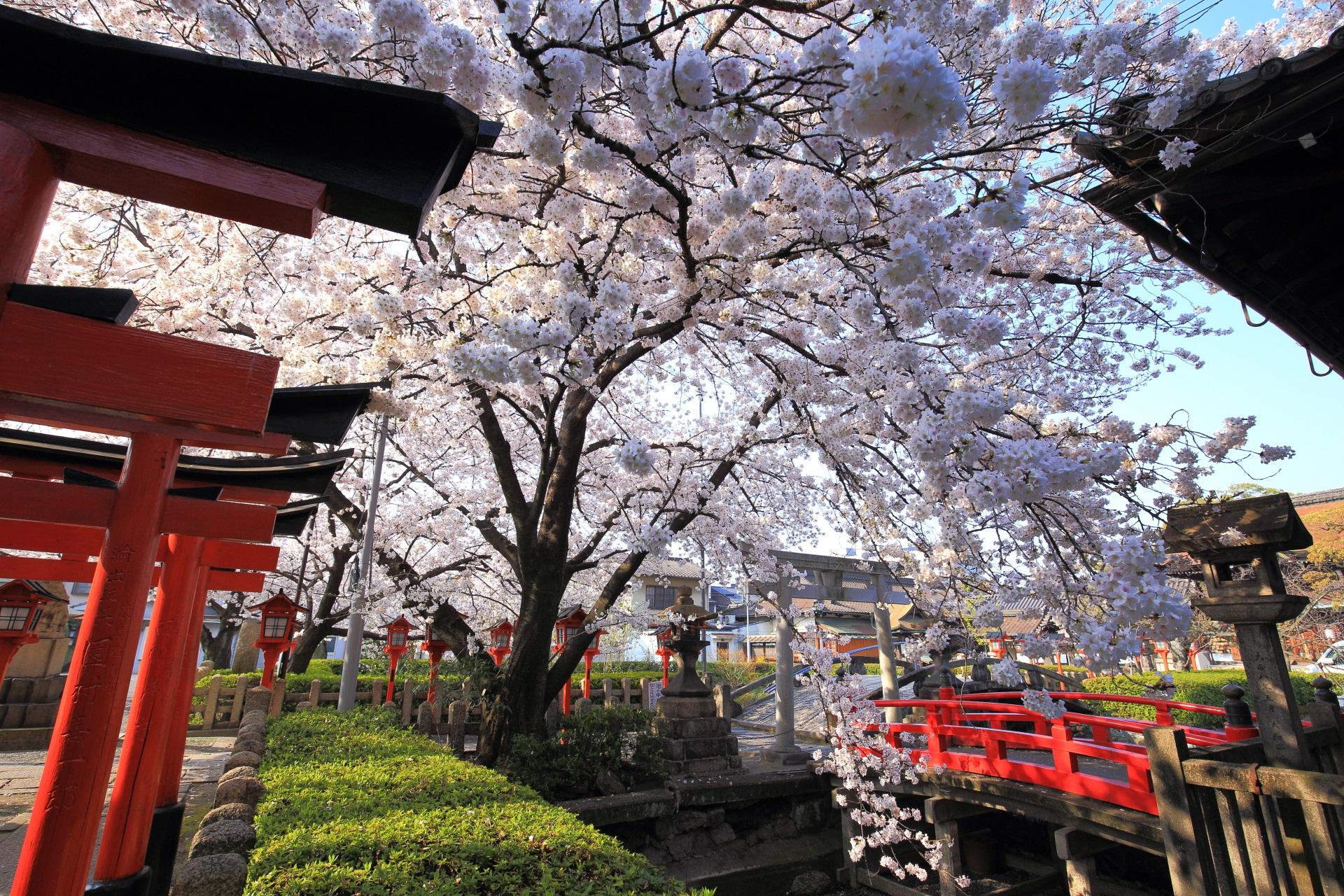 六孫王神社のこぼれ落ちんばかりに咲き誇る桜