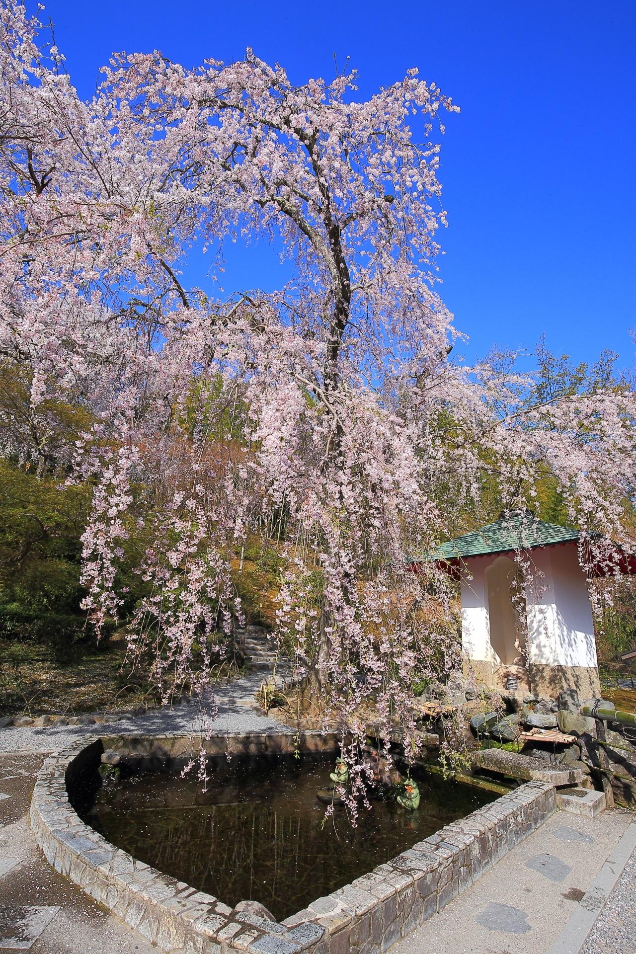 天龍寺の青空から愛の泉に降り注ぐしだれ桜