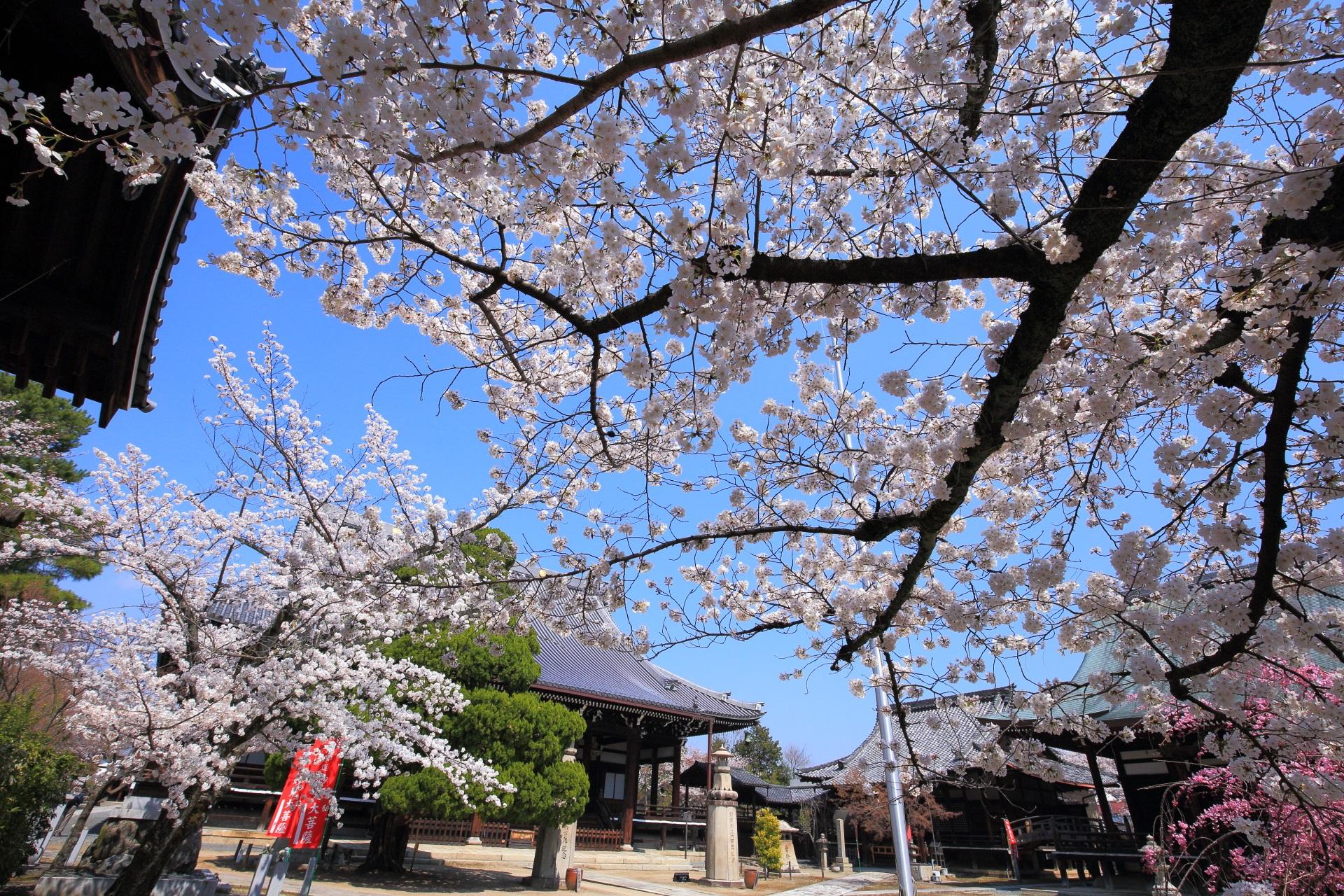 妙顕寺の大本堂や鬼子母神堂前の桜