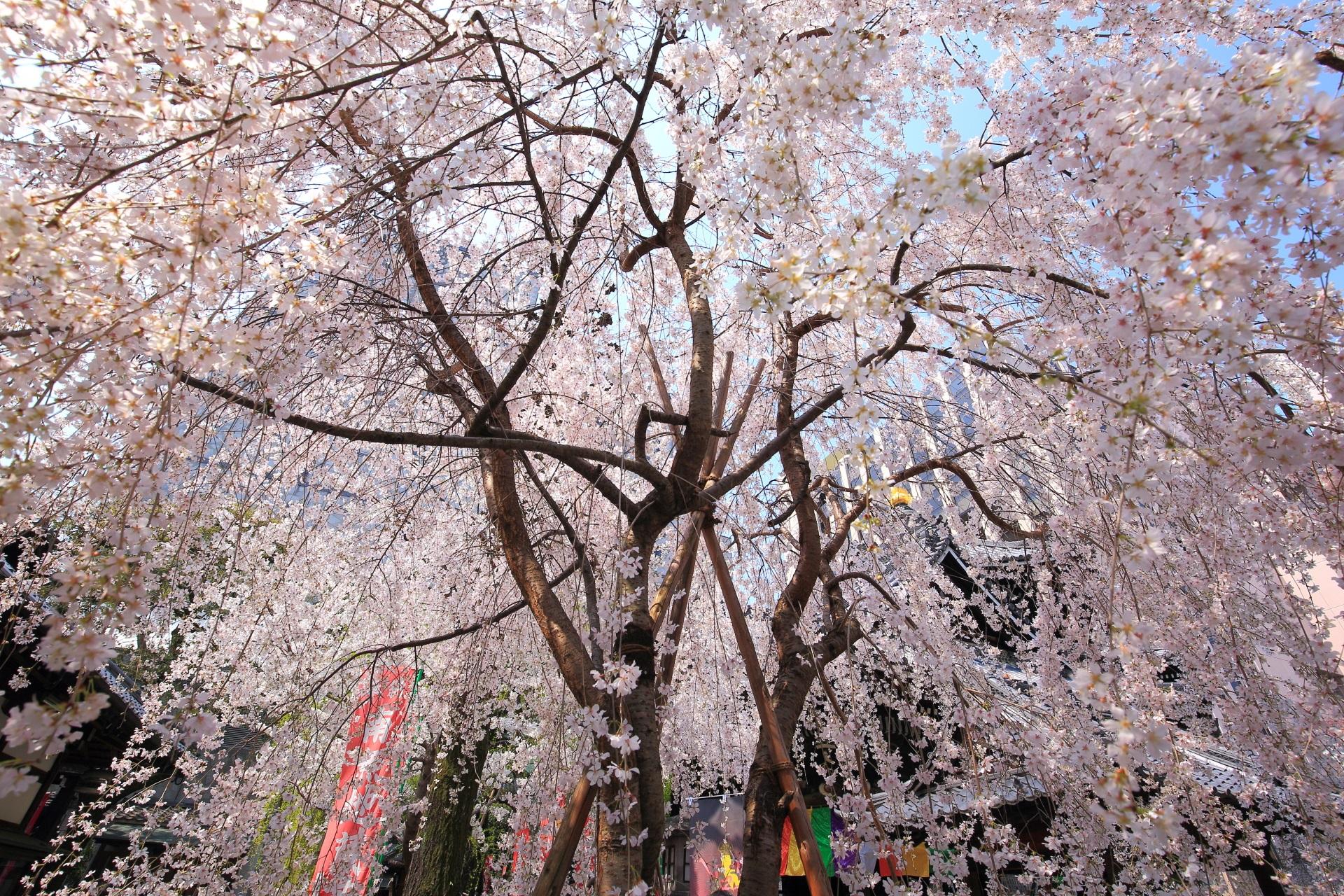 六角堂の六角形のお堂と空を覆うしだれ桜