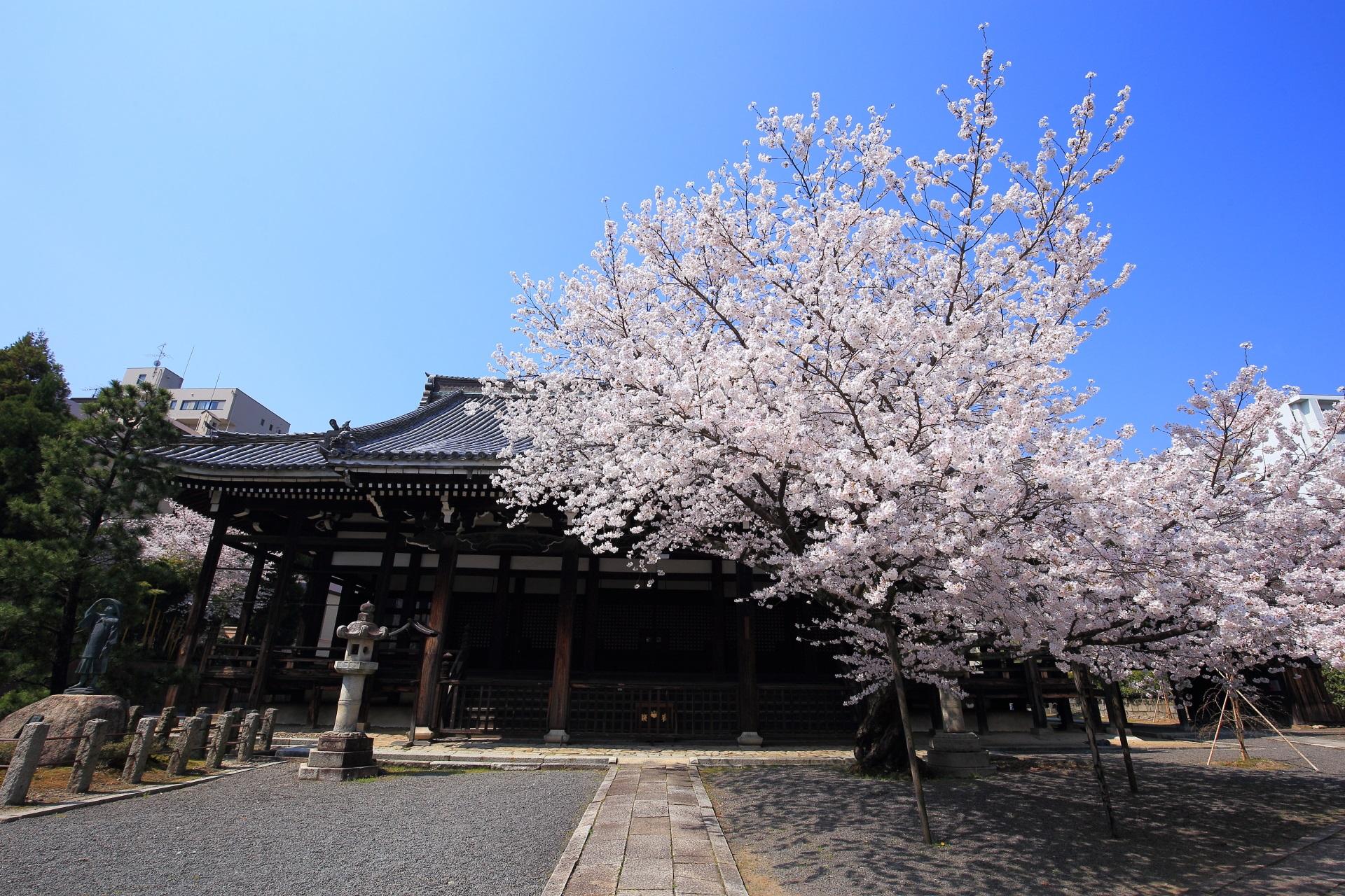 本法寺の本堂と絶品の桜