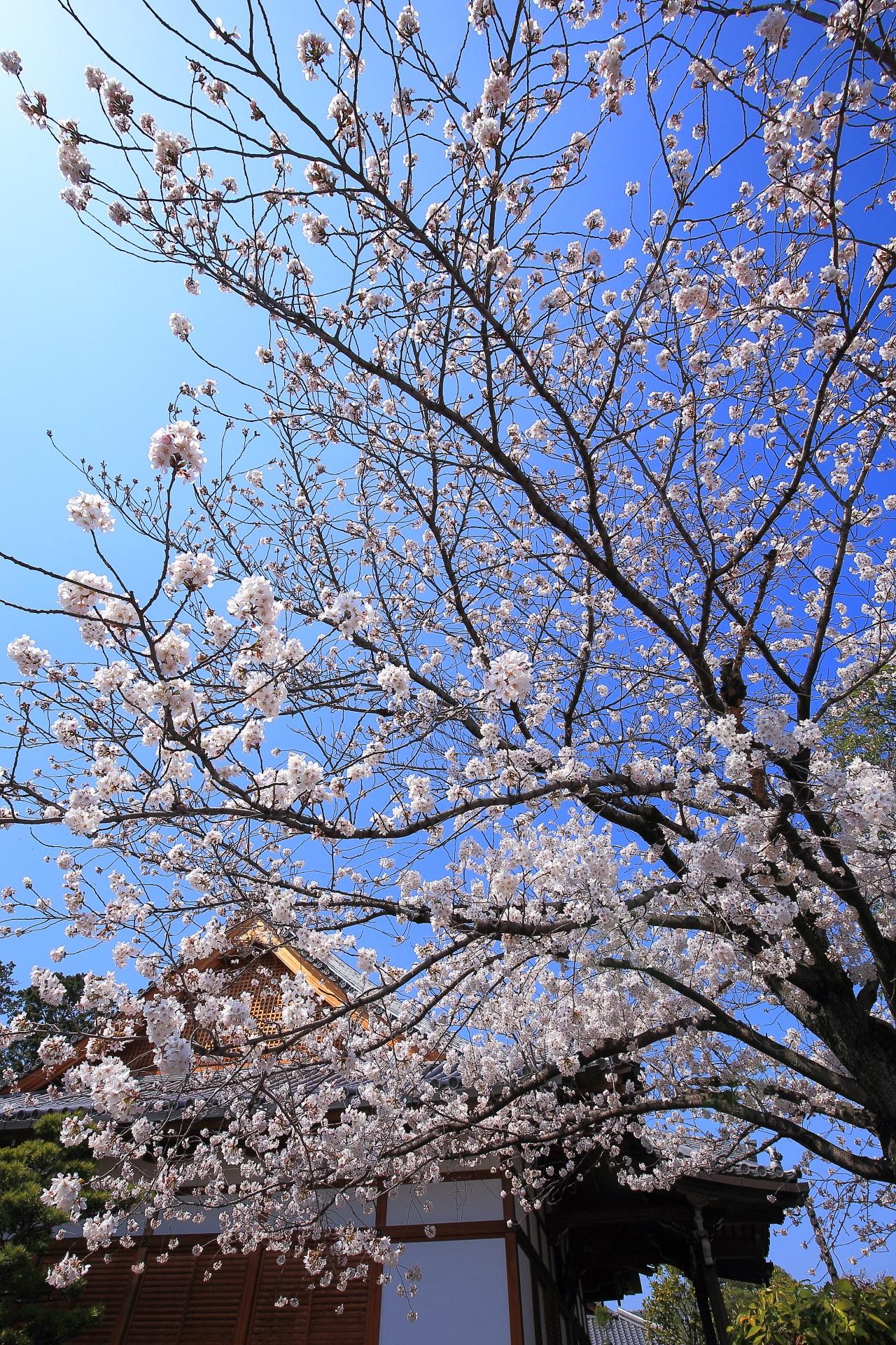 上品蓮台寺の青空の下で咲き誇る豪快な桜