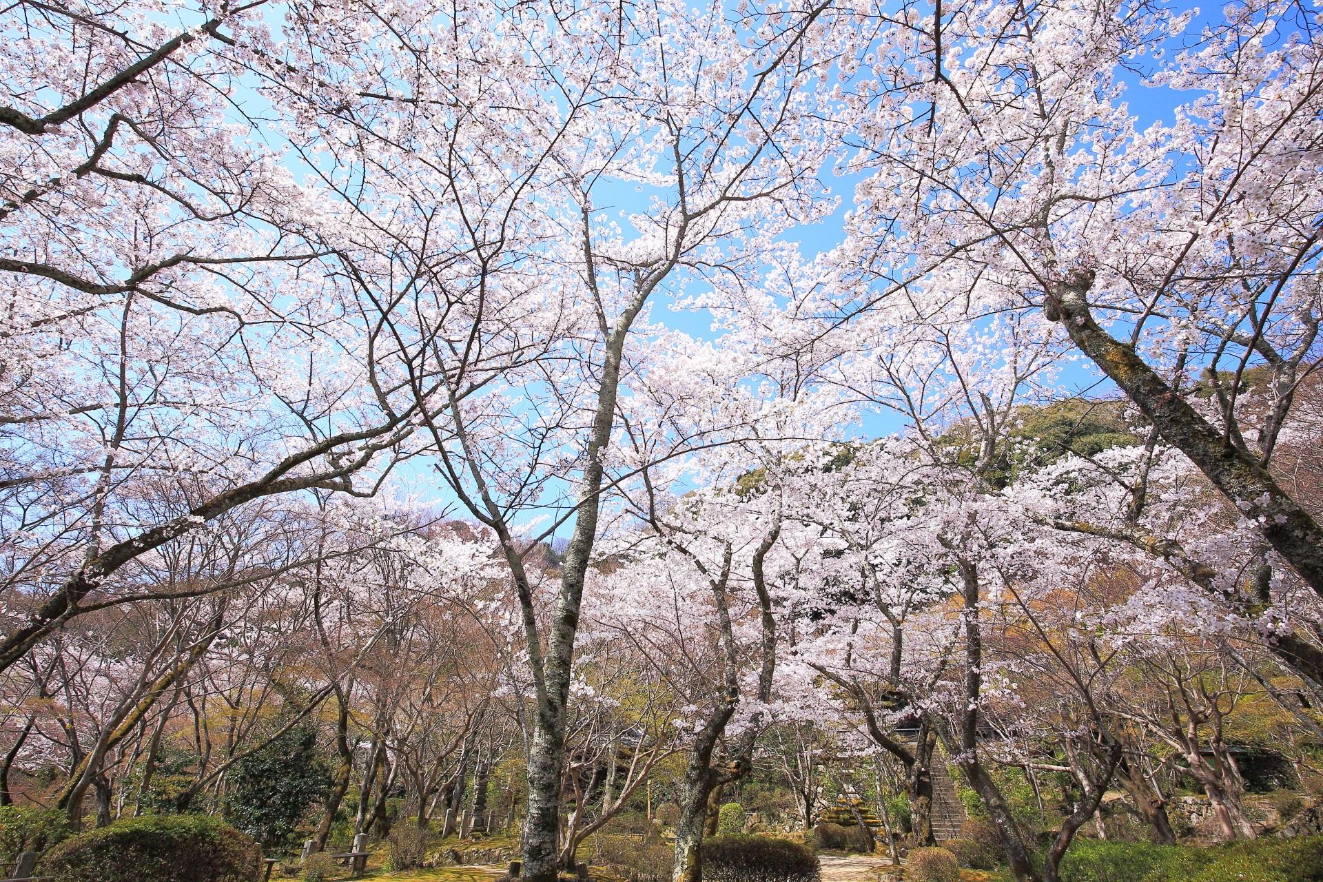 勝持寺の桜の天井