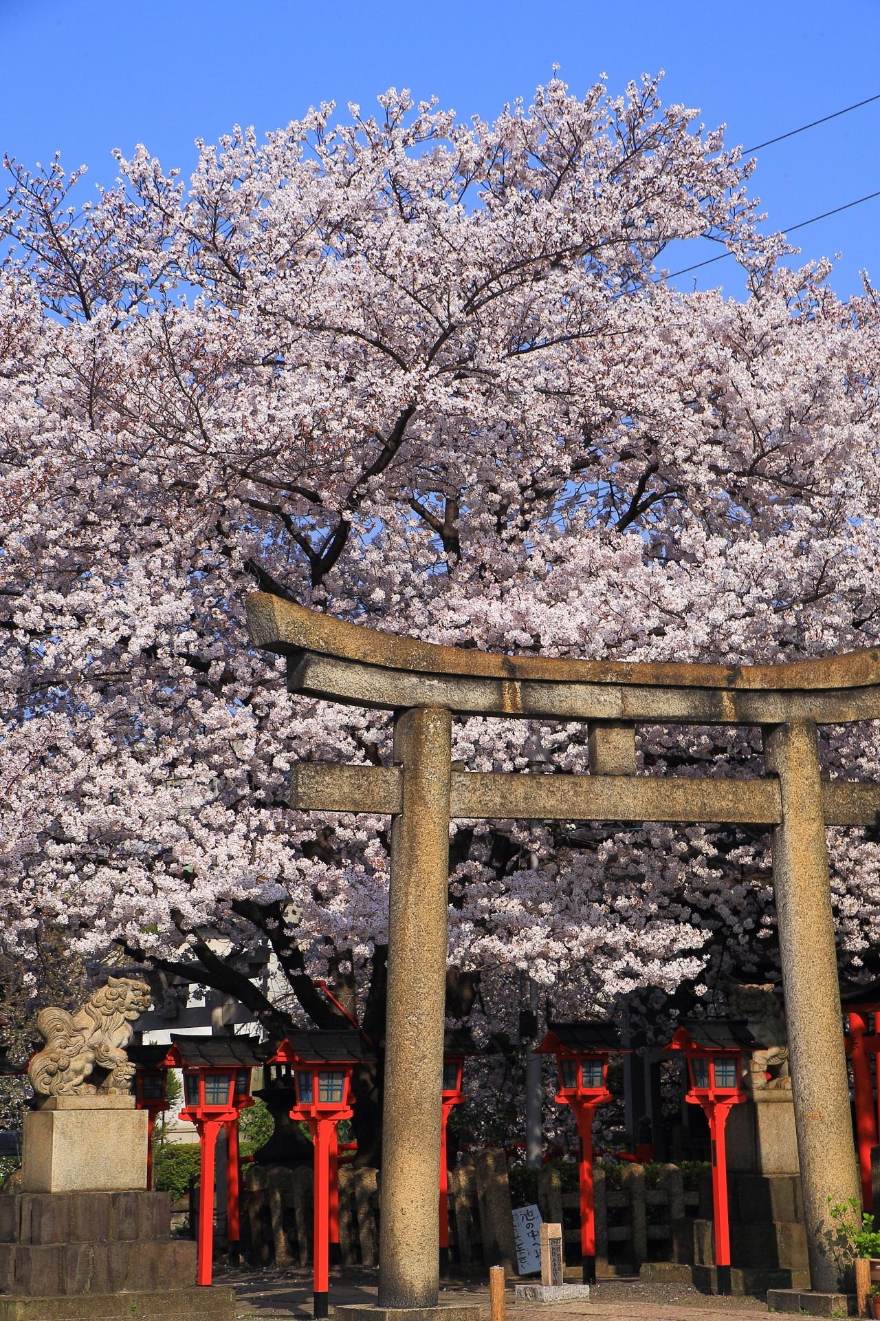 極上の桜に染まる春の六孫王神社