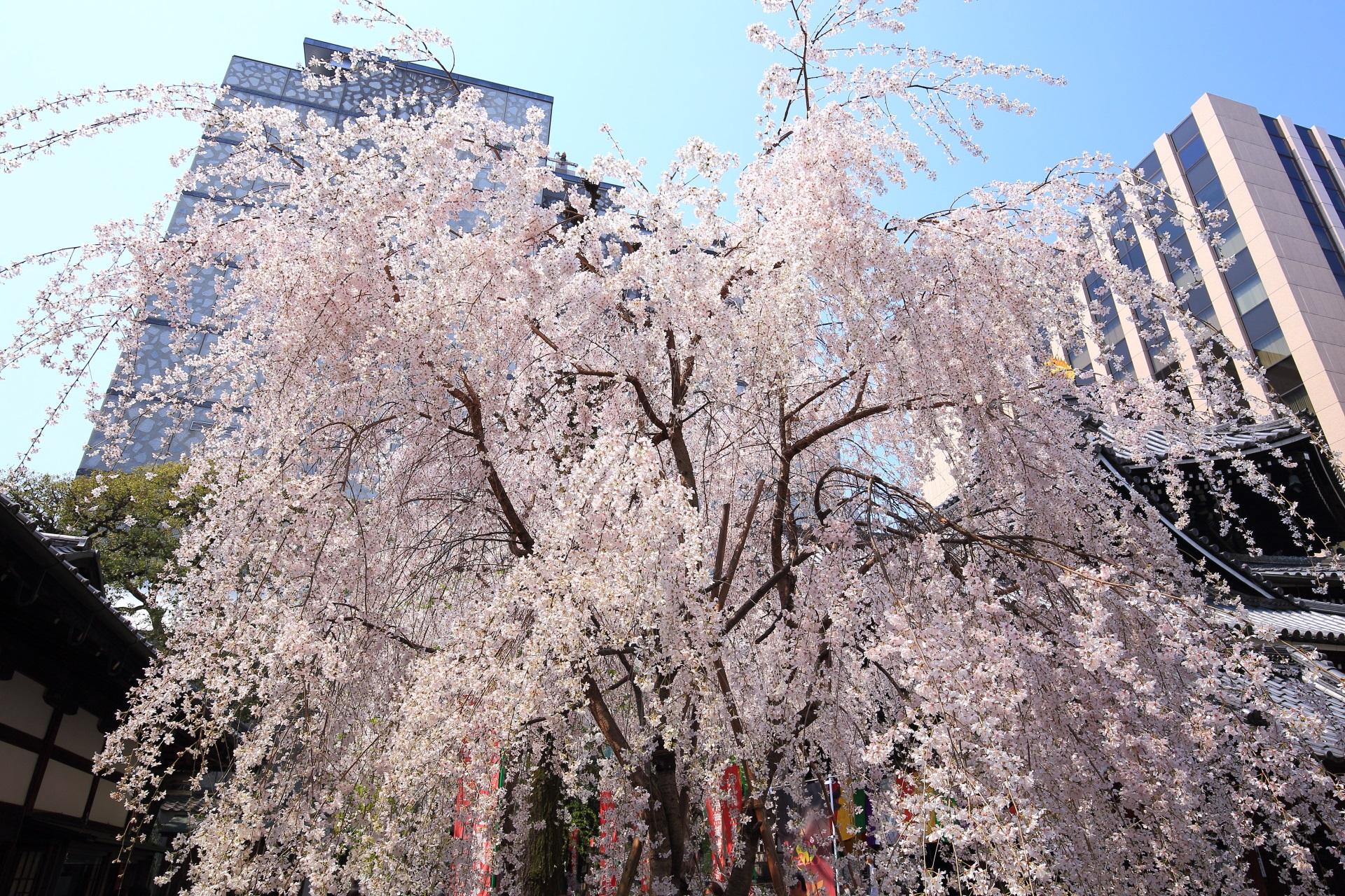 高画質 六角堂 桜 写真