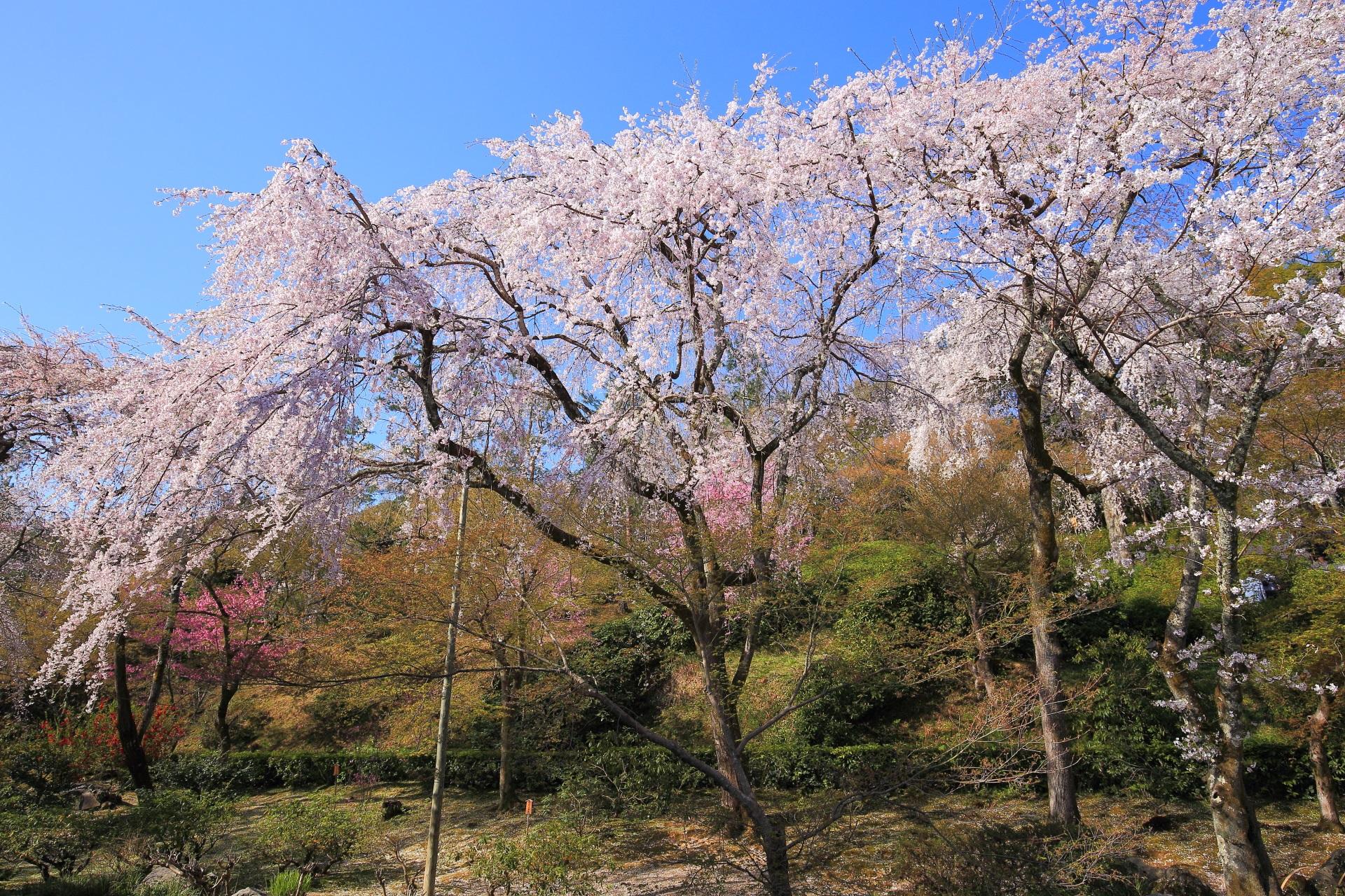 天龍寺の日を浴びて煌く桜
