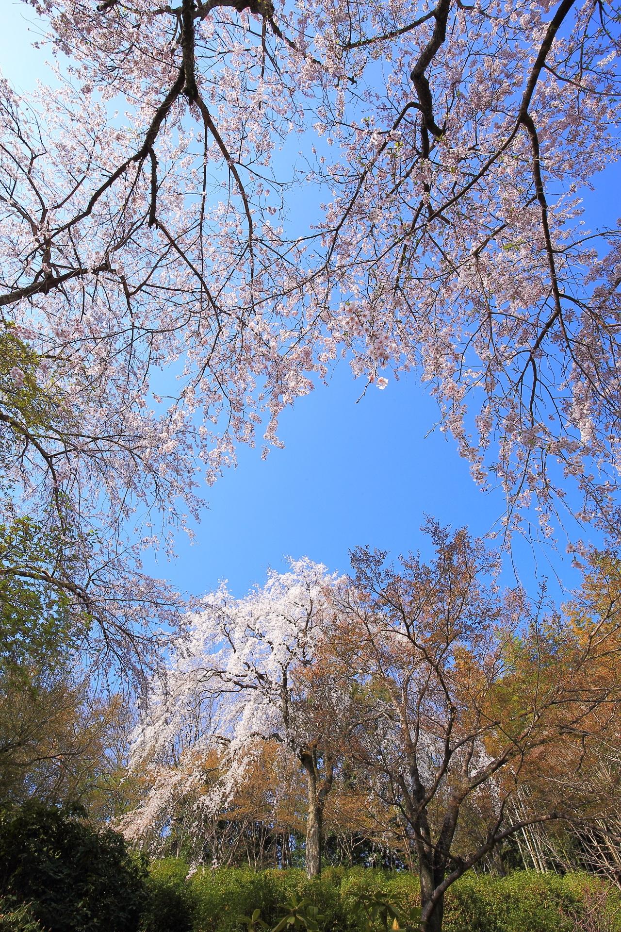 天龍寺の透き通る青空の下で咲き乱れる桜