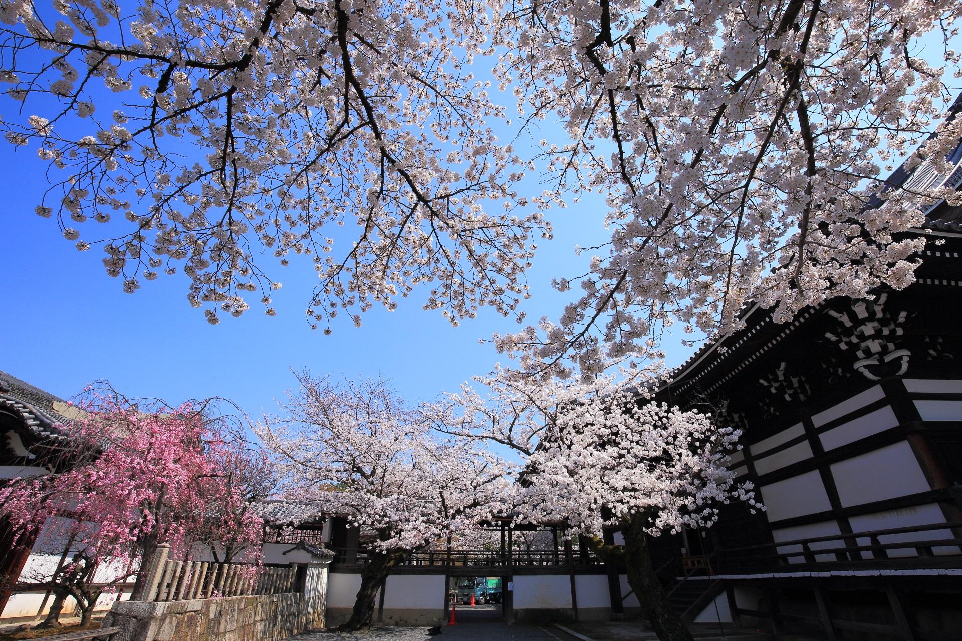 妙顕寺の素晴らしい桜と春色の情景