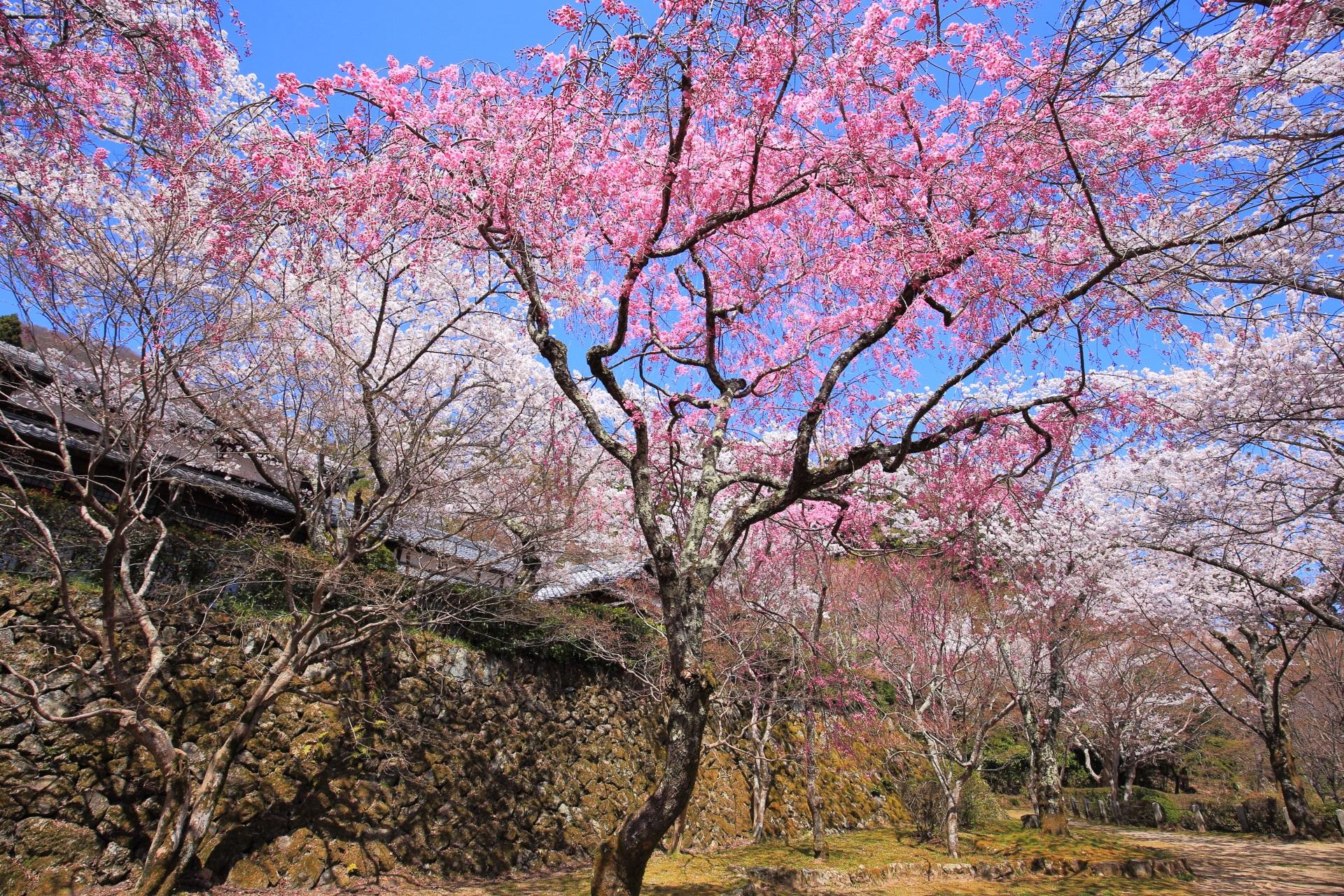勝持寺の青空を覆う紅白の極上の桜