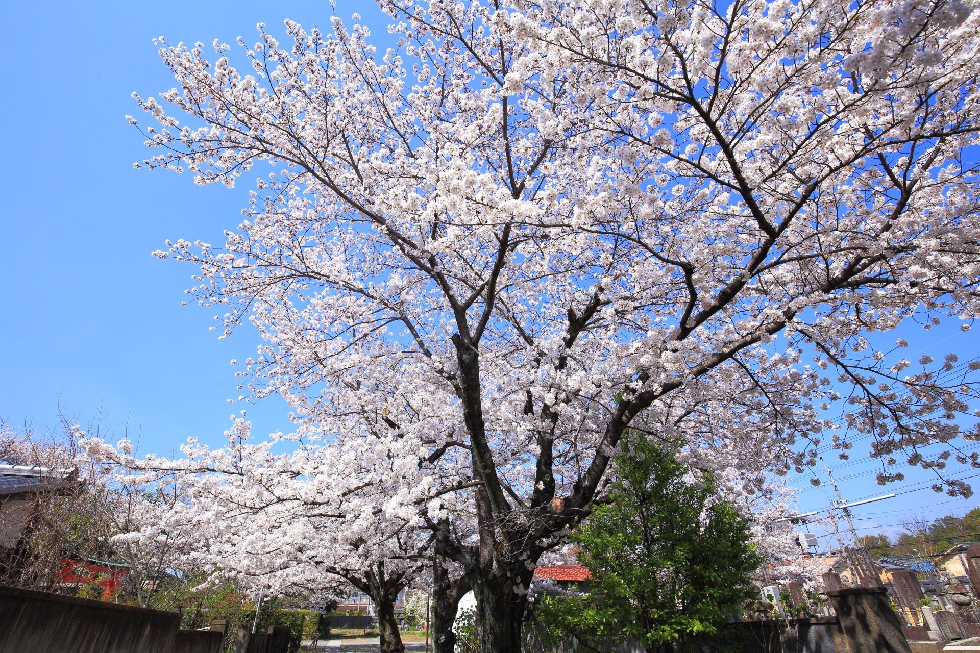 街中にある隠れた桜の名所の上品蓮台寺
