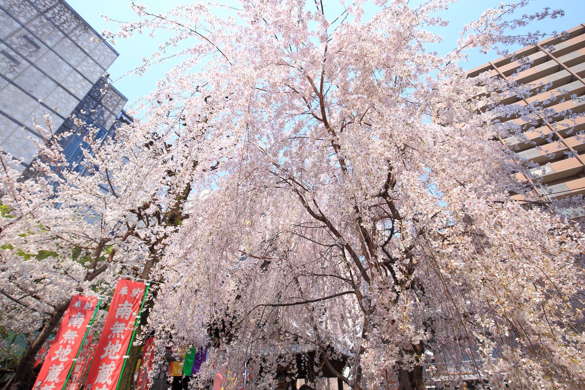 六角堂のビルの間からのぞく青空を覆う華やかなしだれ桜