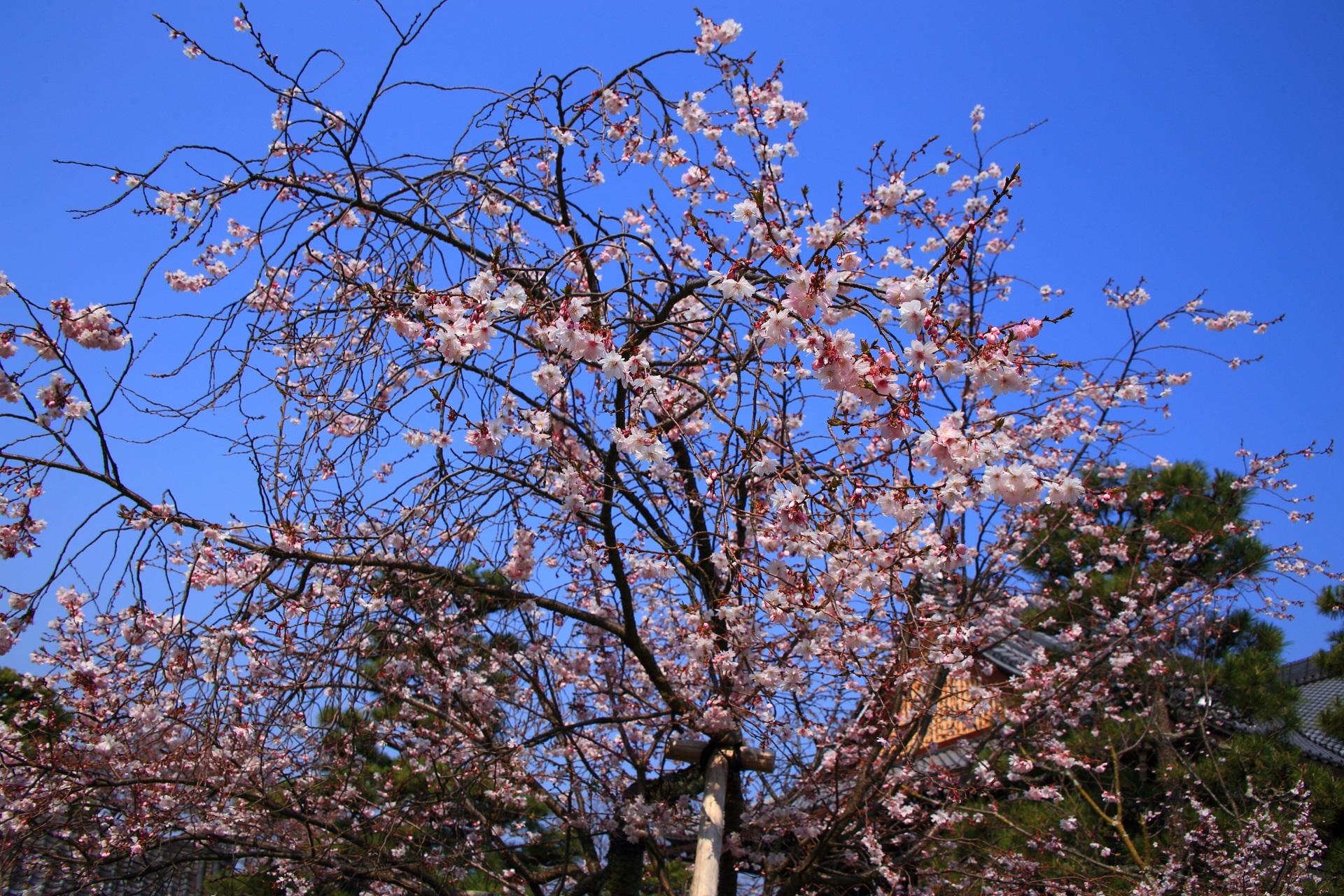 青空の下で煌く御会式桜