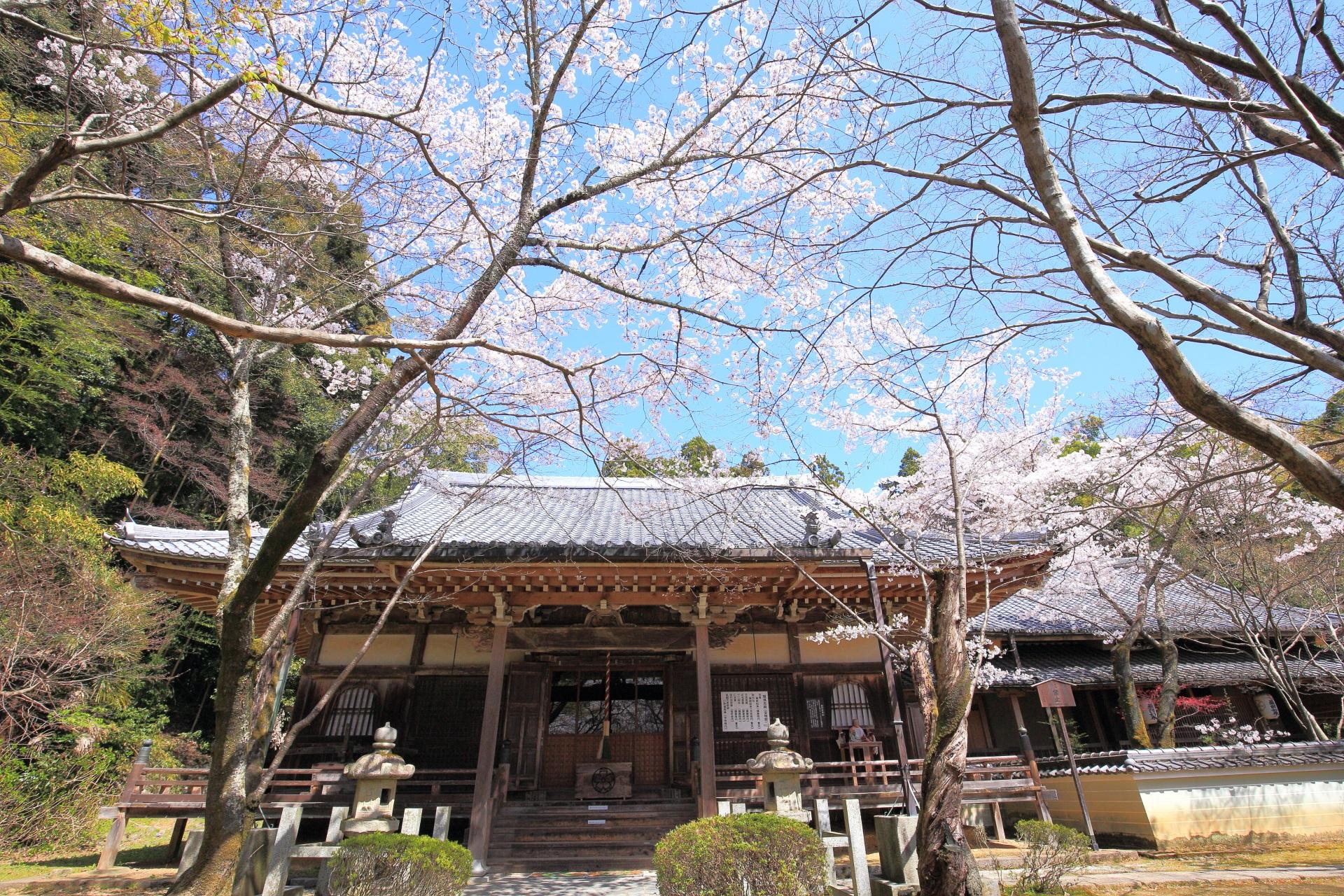勝持寺の阿弥陀堂と桜