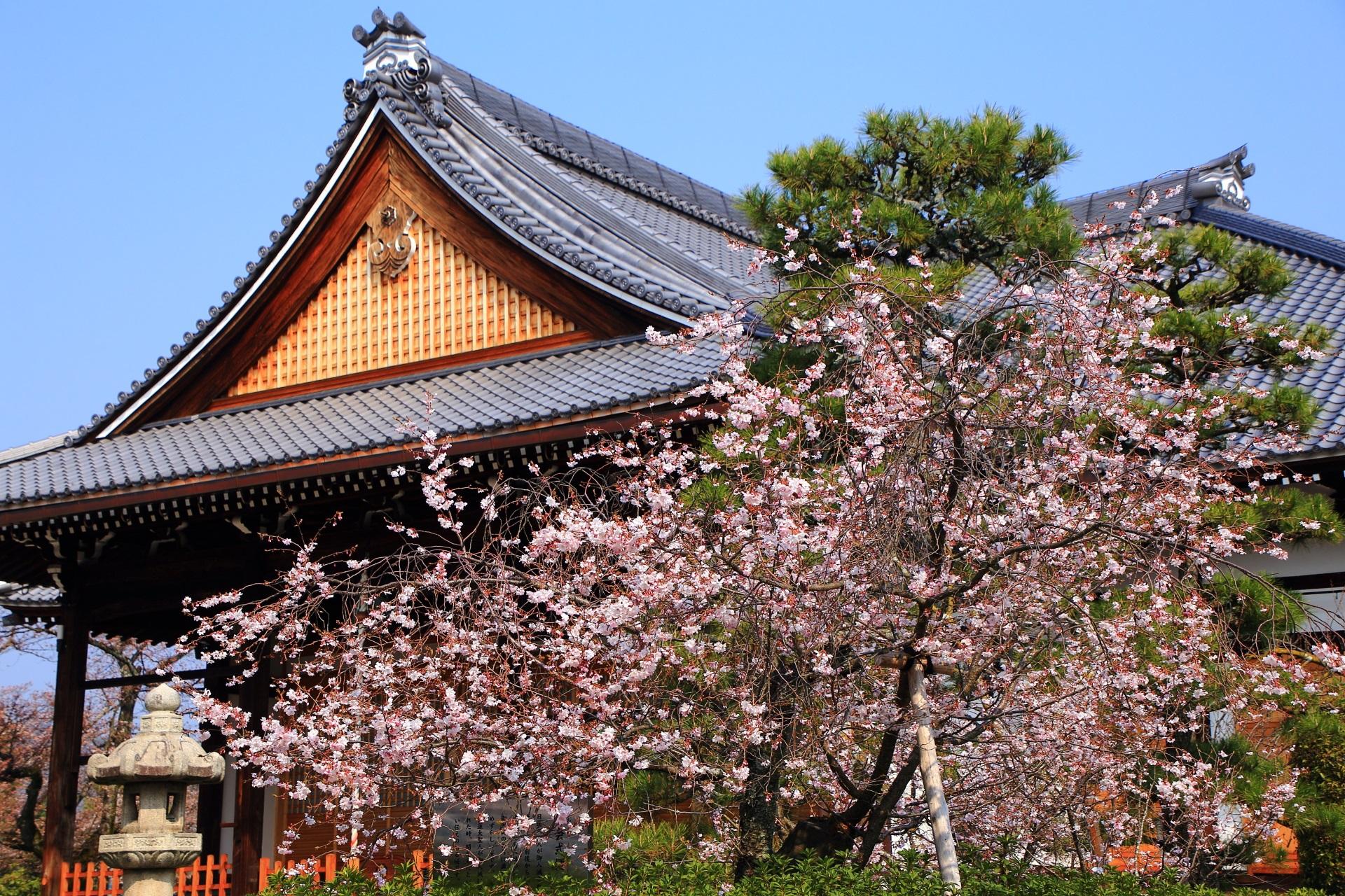 お釈迦様の誕生日に満開になる御会式桜