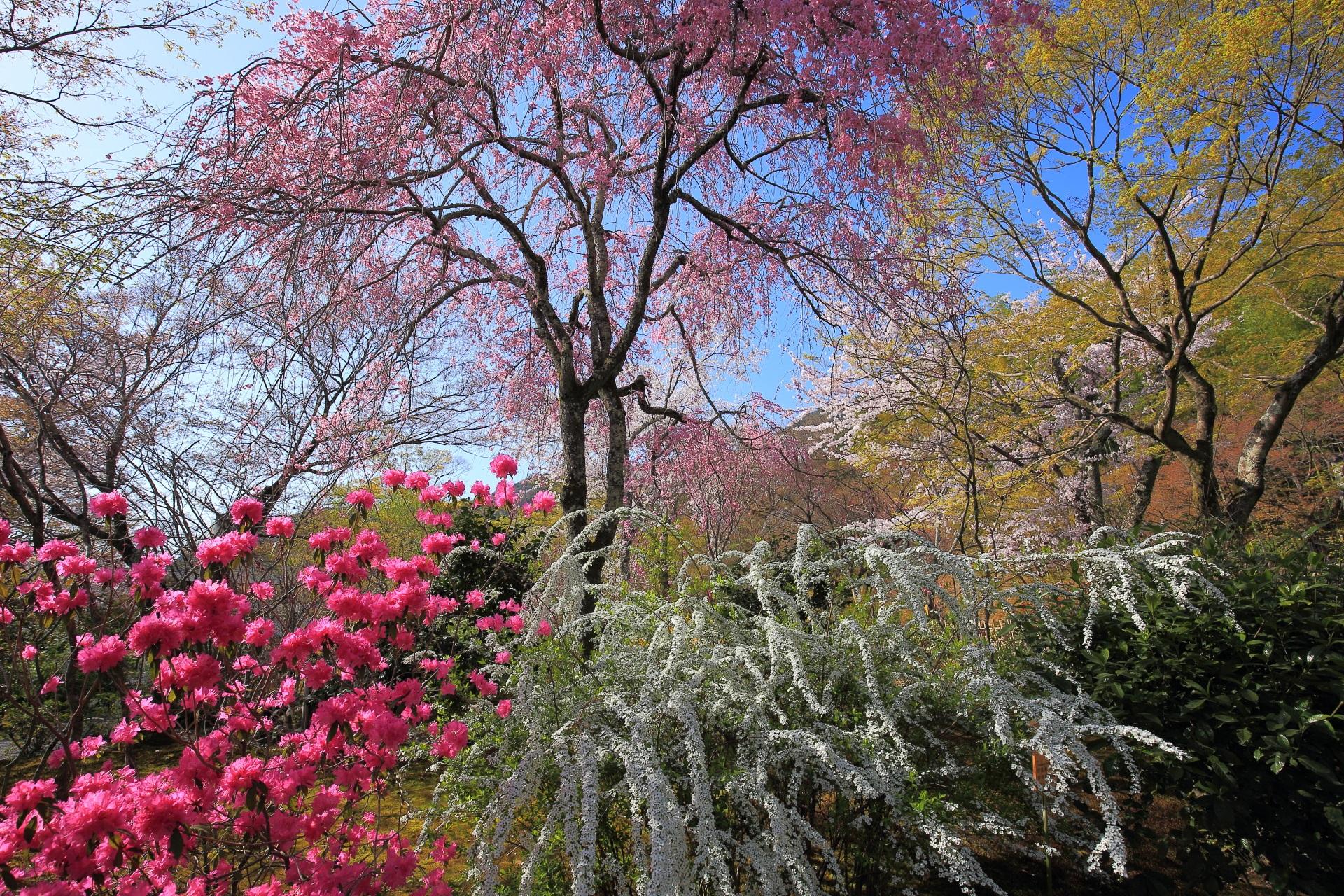 雪柳や桜などの多彩な春色に染まる天龍寺の百花苑