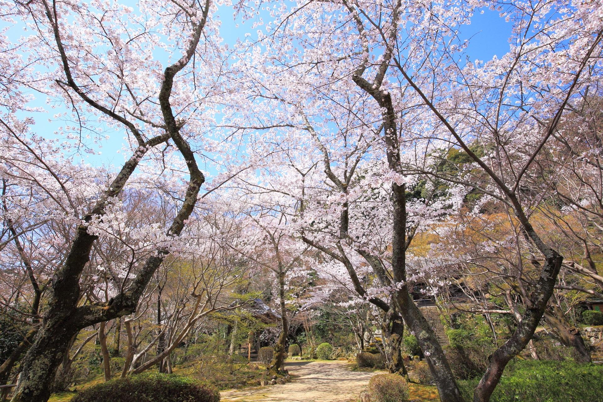 煌びやかな桜につつまれた春の勝持寺