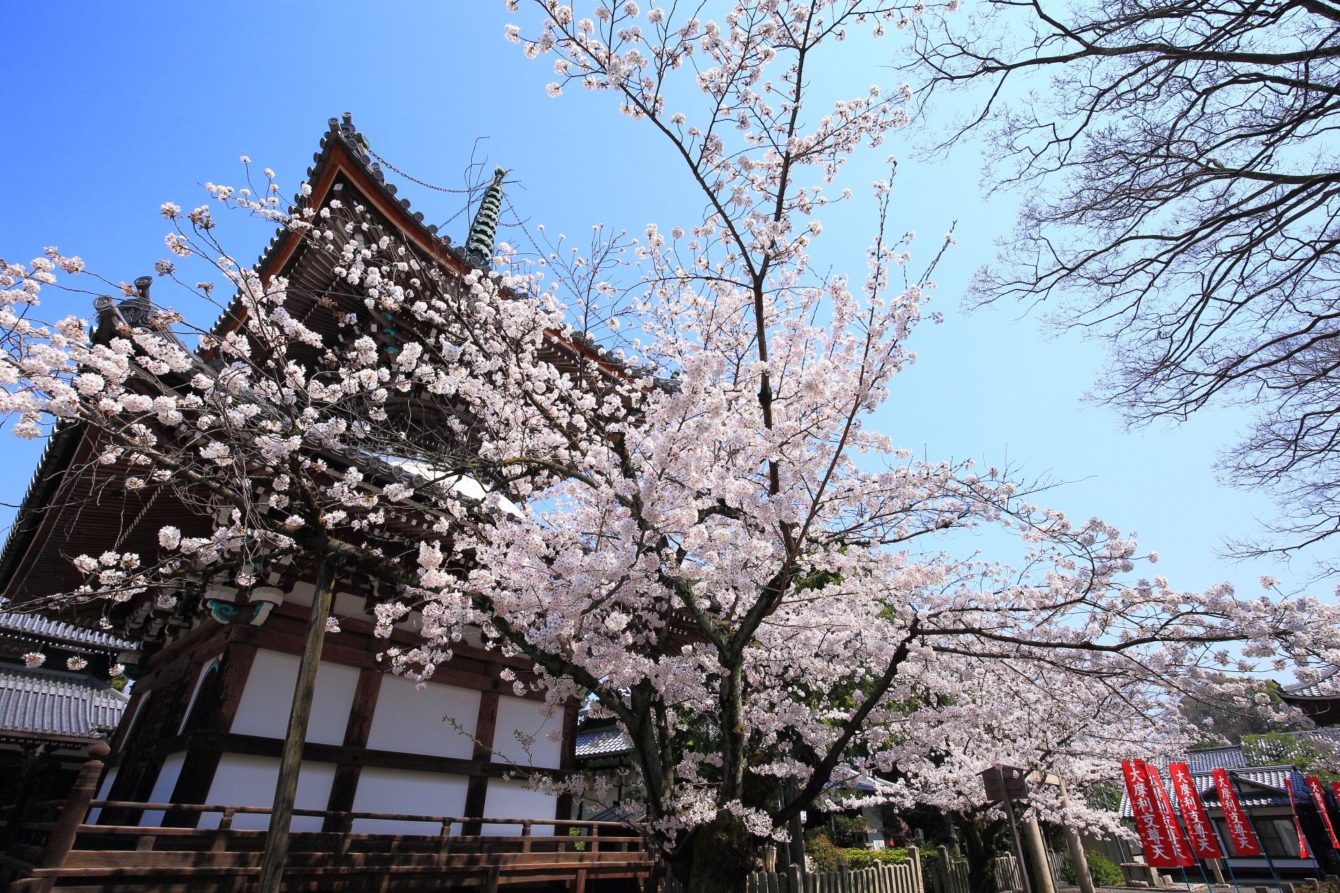 本法寺の多宝塔をつつむ弾けんばかりの桜