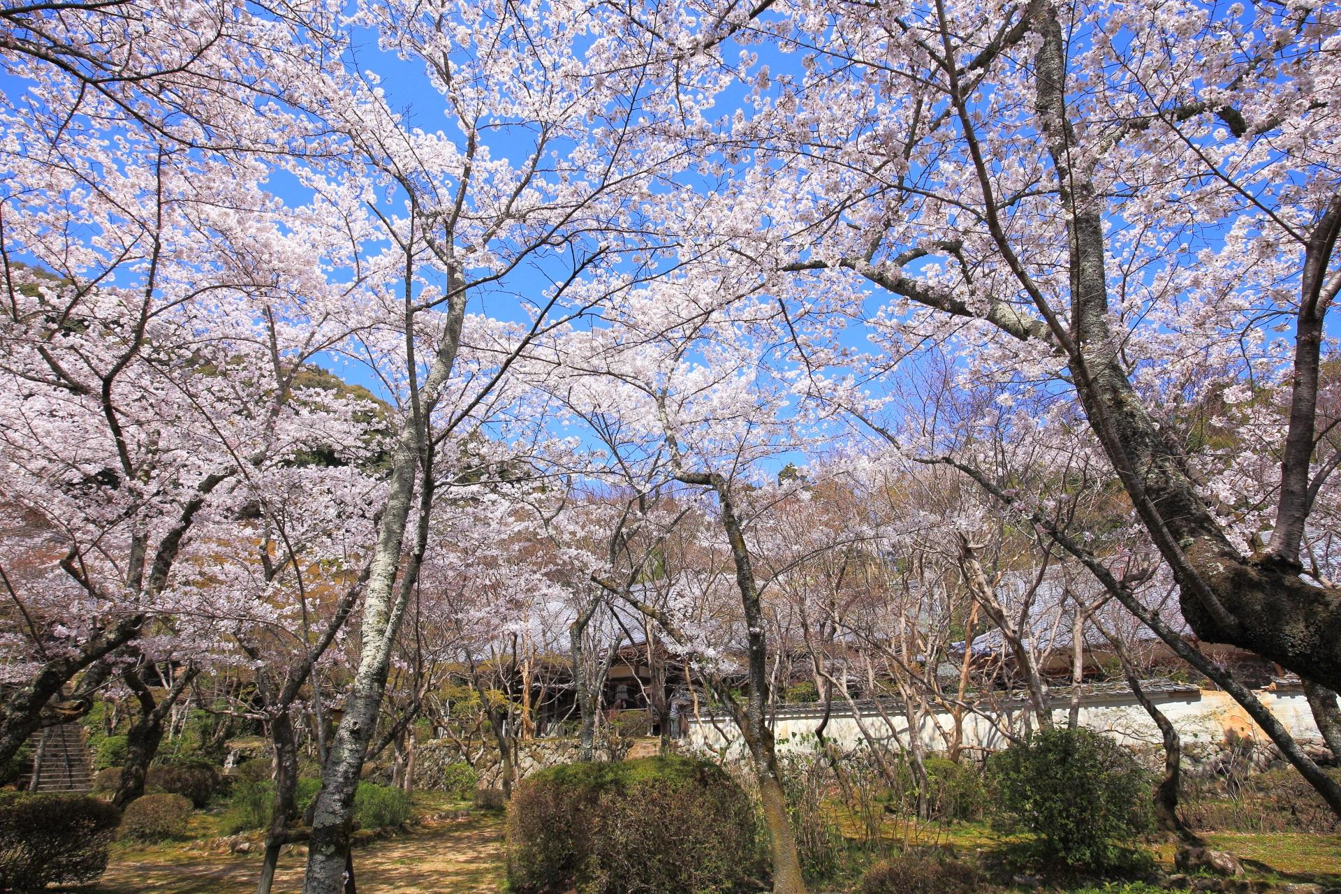 勝持寺の阿弥陀堂や瑠璃光堂前の桜