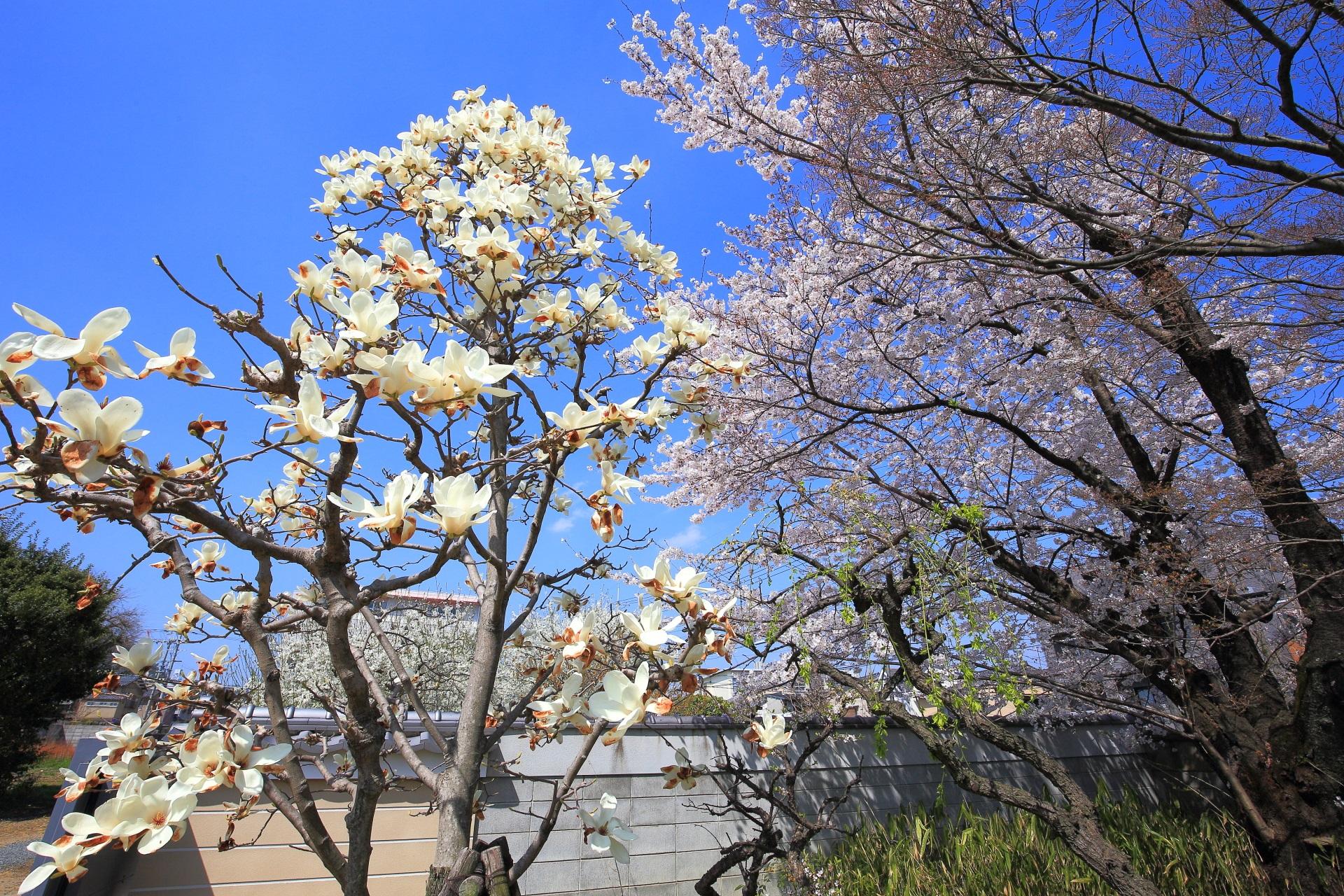 上品蓮台寺の桜とモクレンのコラボ
