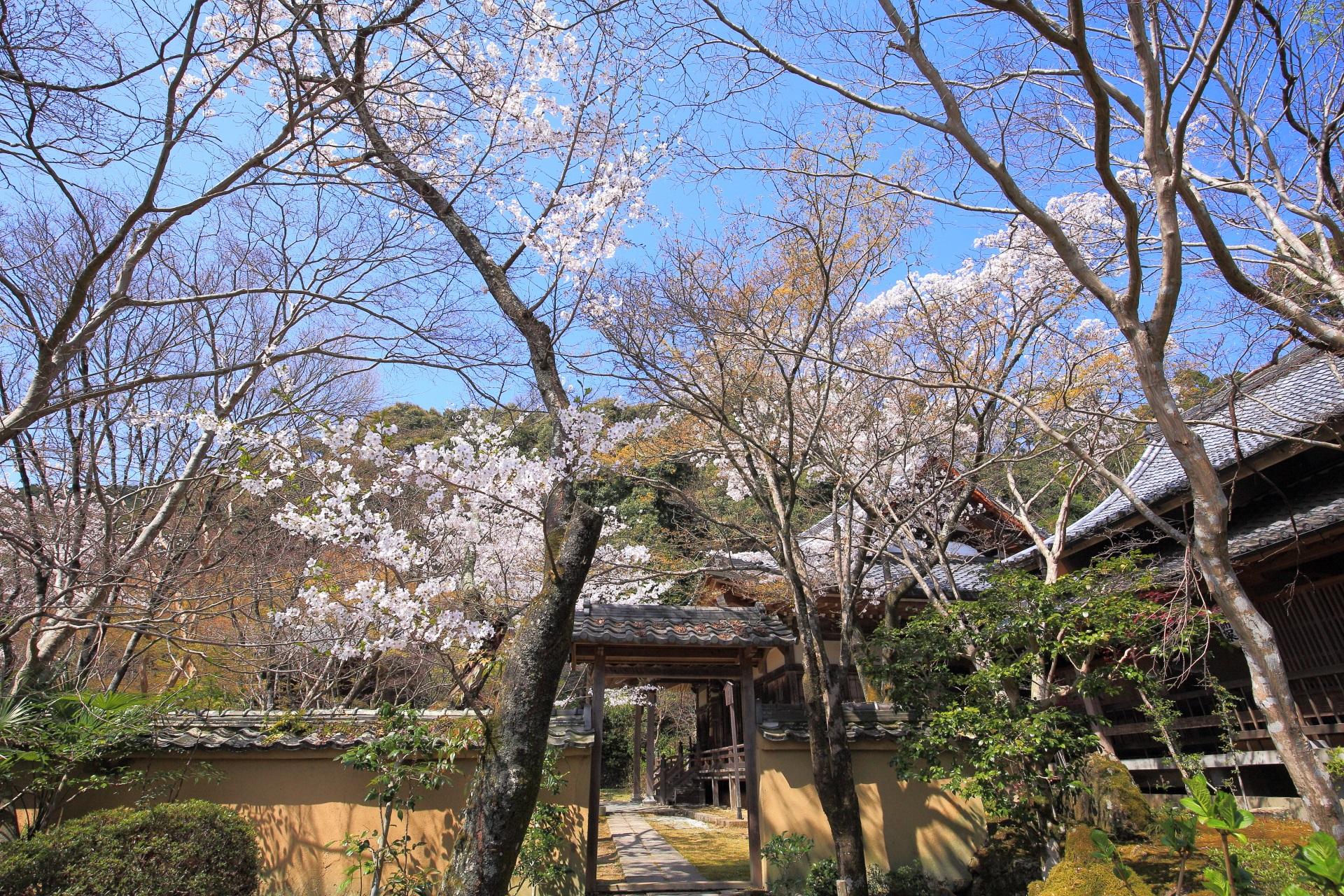 勝持寺の書院前から眺めた桜