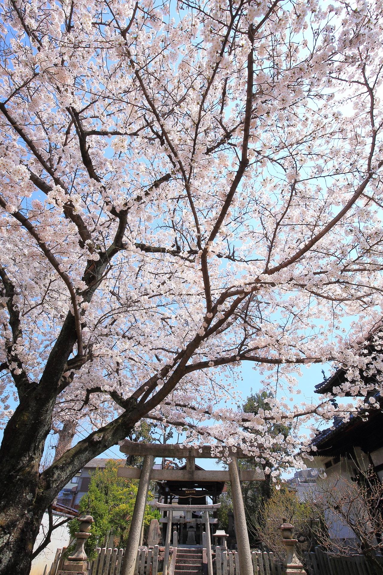 妙顕寺の空を覆う輝く桜