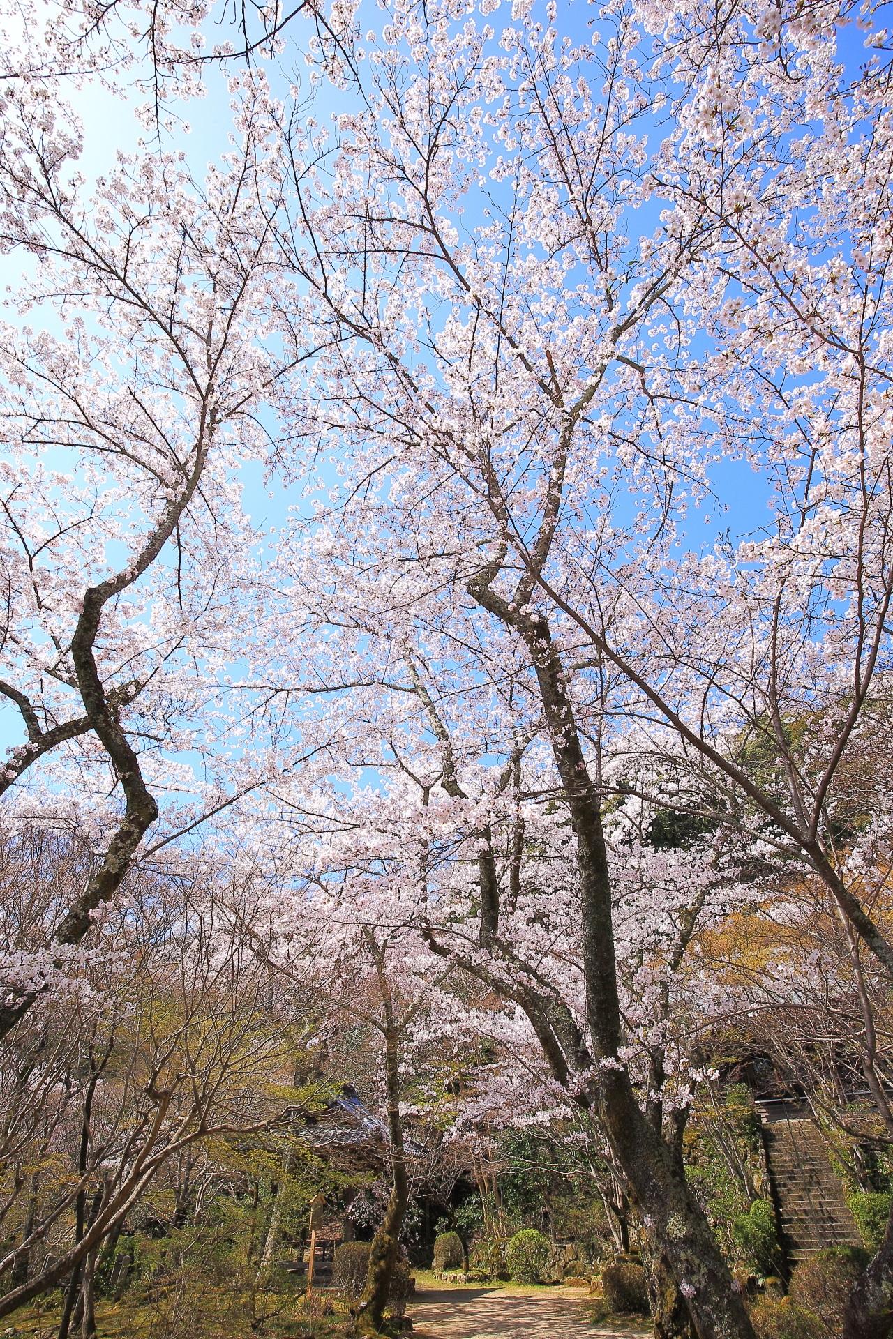 勝持寺の青空を覆う圧巻の桜