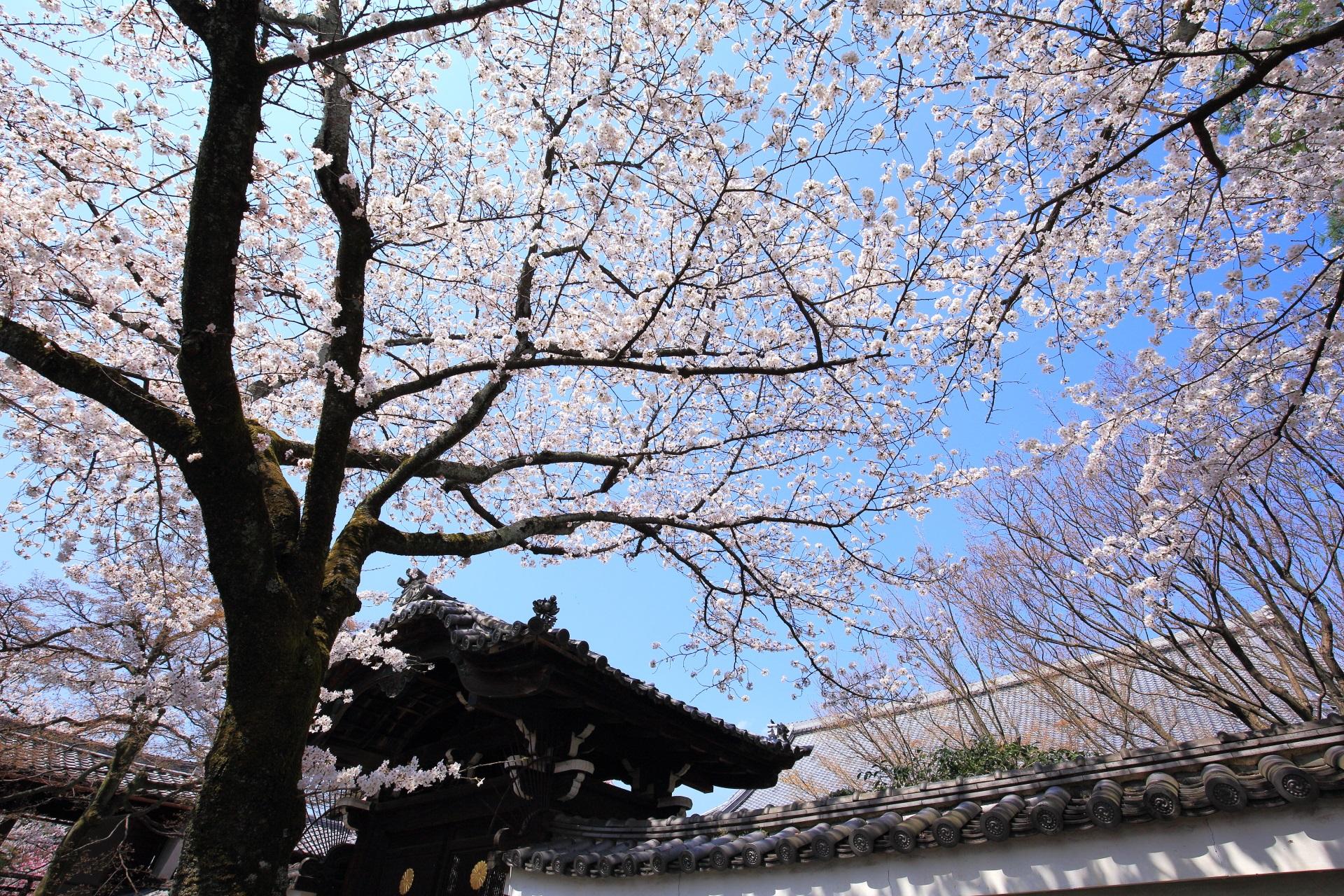 妙顕寺の華やかな春色