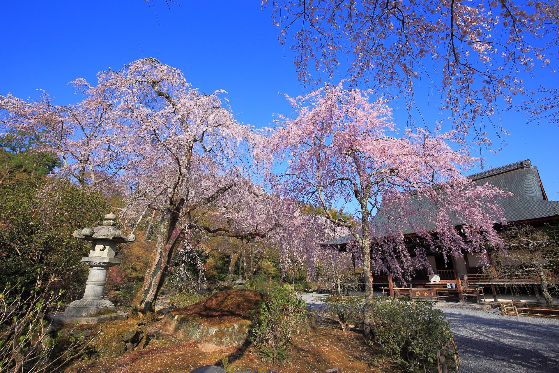 天龍寺の多宝殿と桜