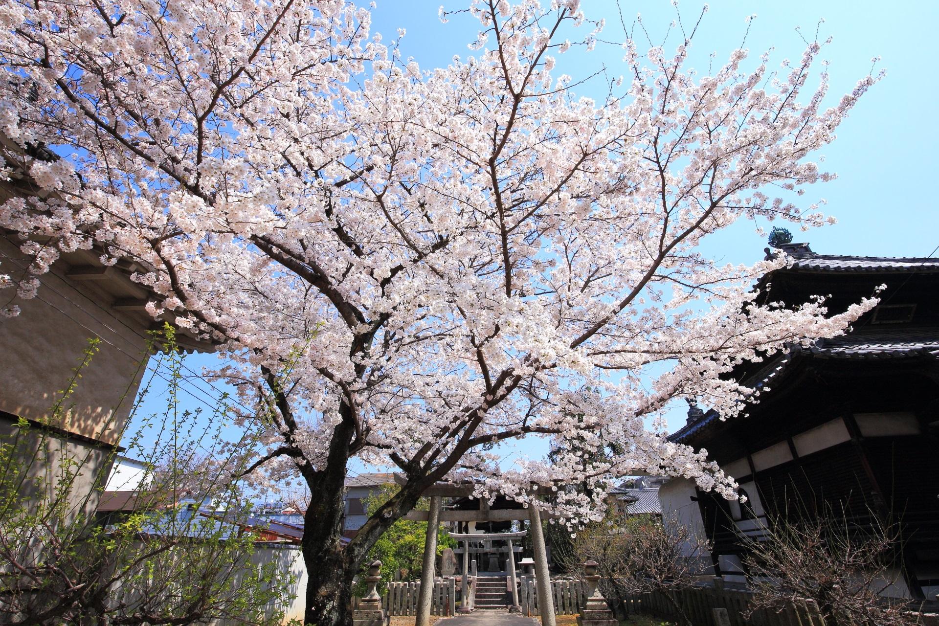妙顕寺の慶中稲荷前の桜