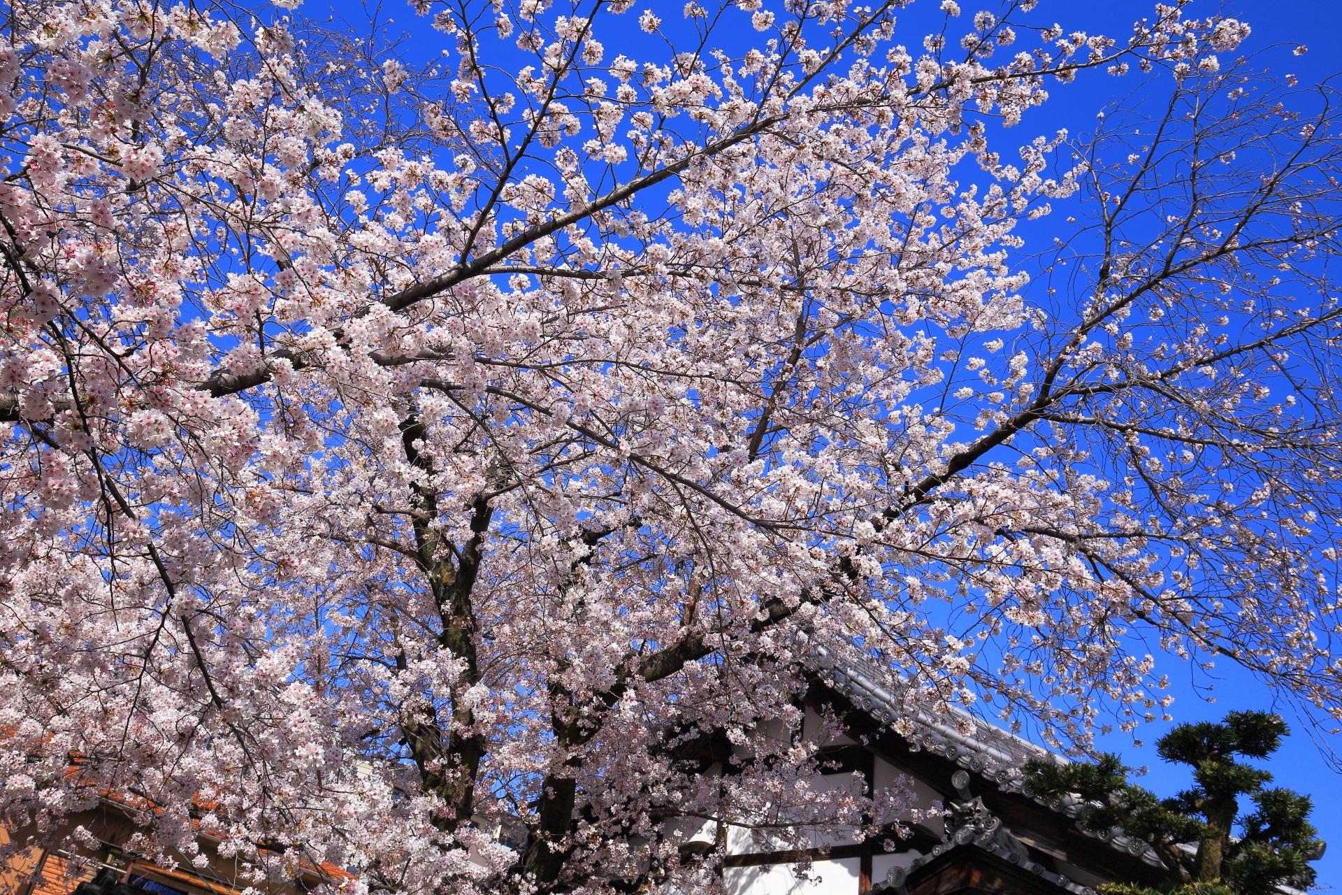 墨染寺の青空に散りばめられたような桜
