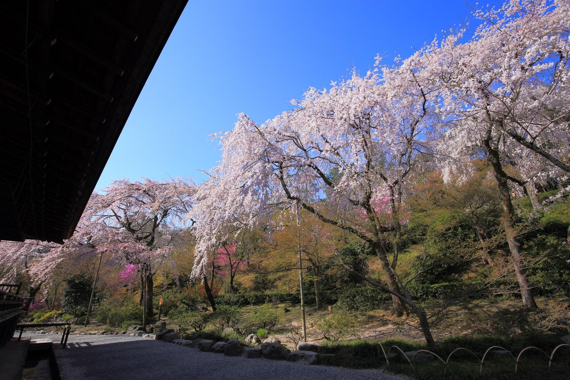 天龍寺の多宝殿横から望京の丘にかけての桜