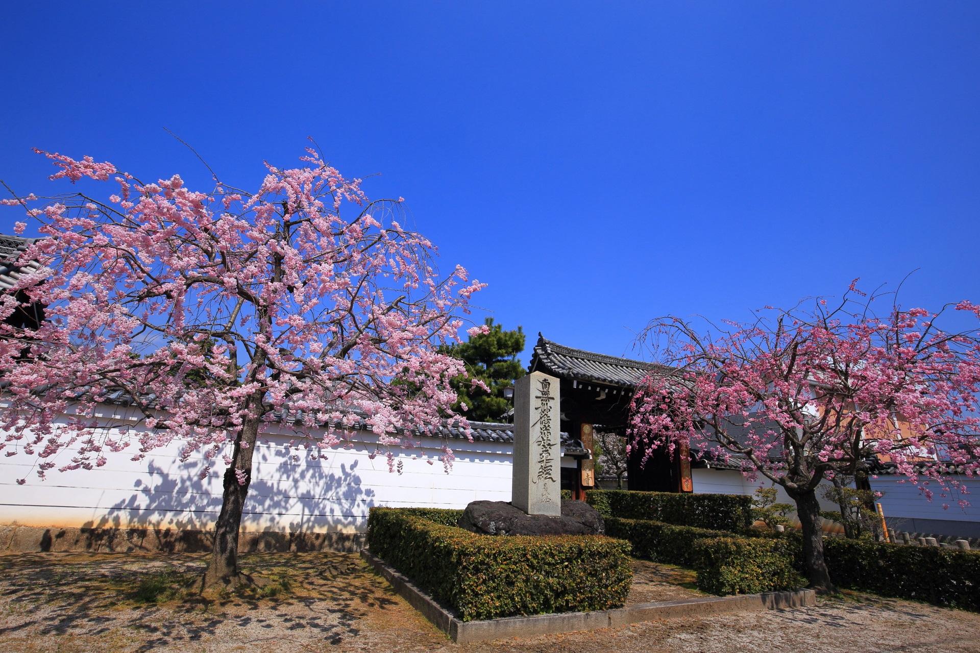 妙顕寺の山門前の桜
