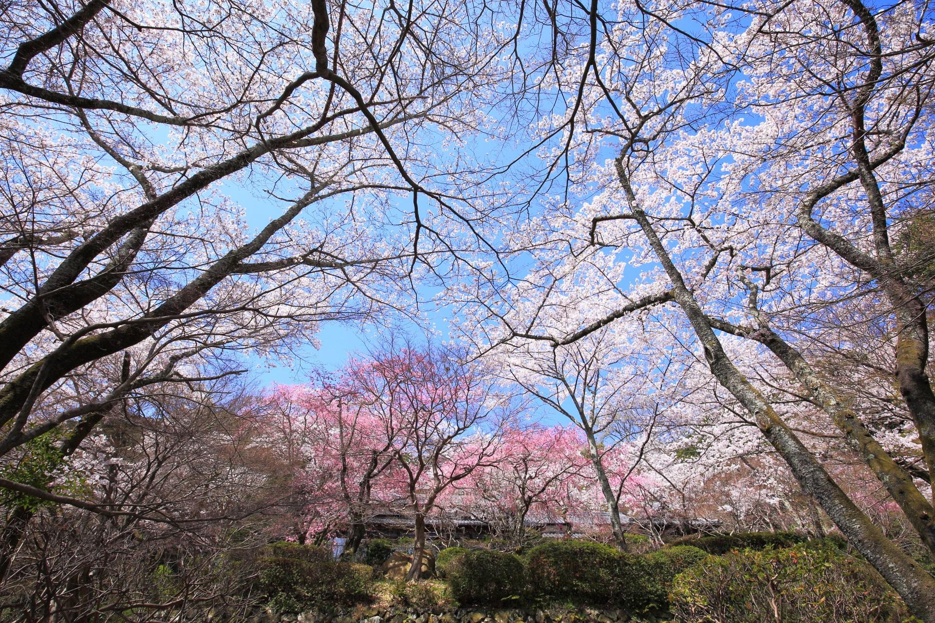 勝持寺の雲一つない青空を染める絶品の桜
