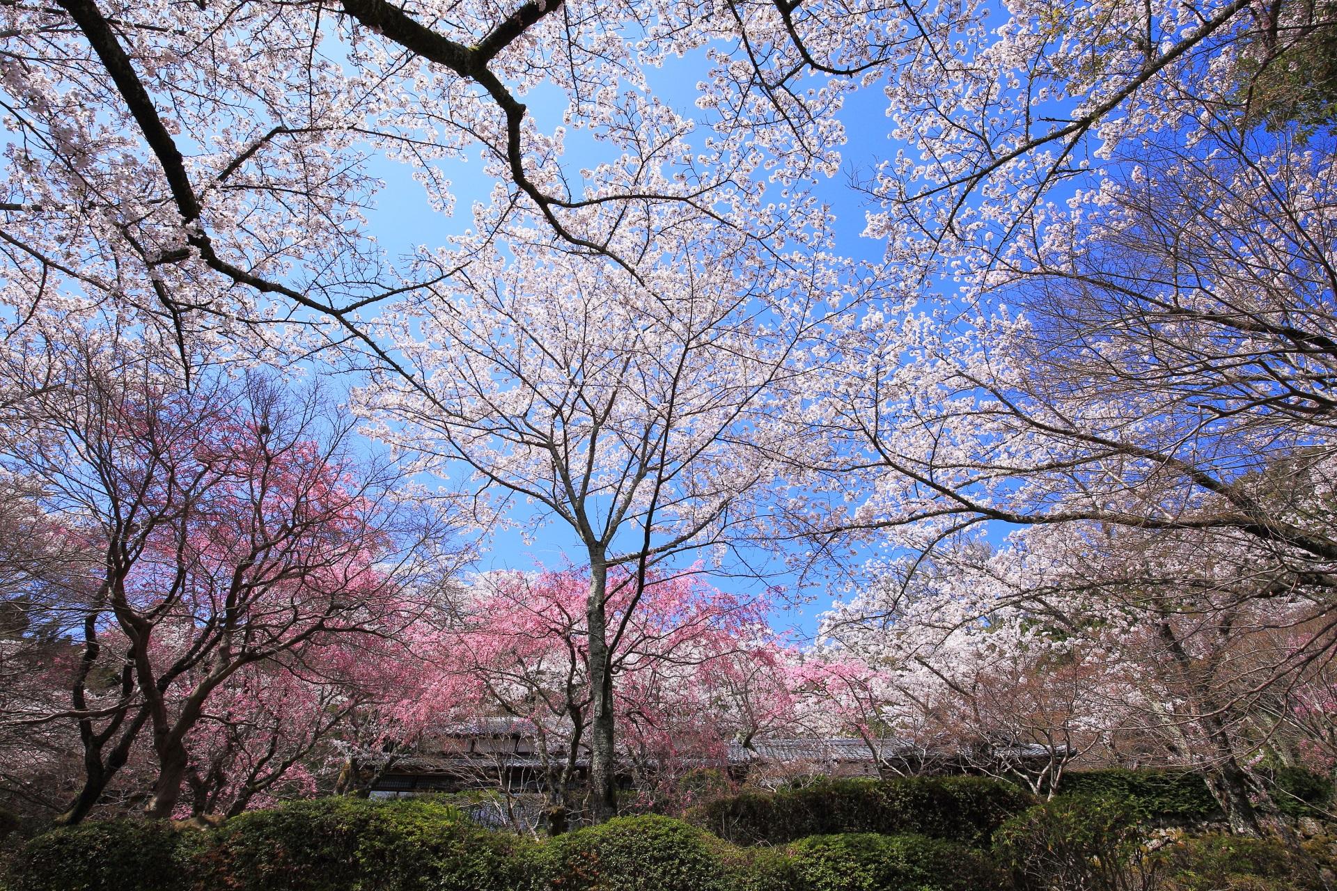 勝持寺の桜ヶ丘の桜