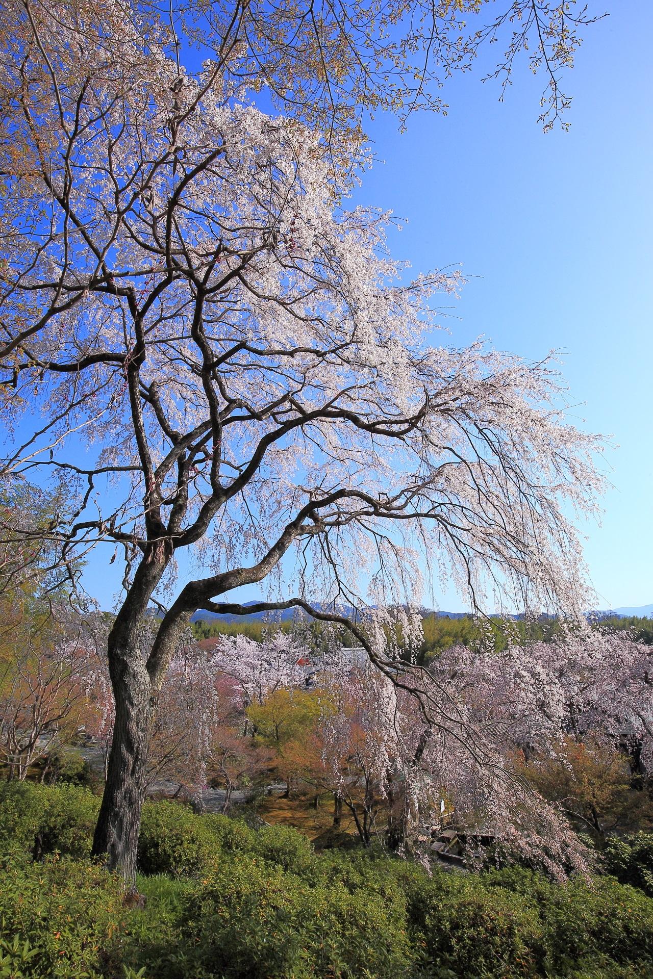 天龍寺の素晴らしいしだれ桜や春色の情景