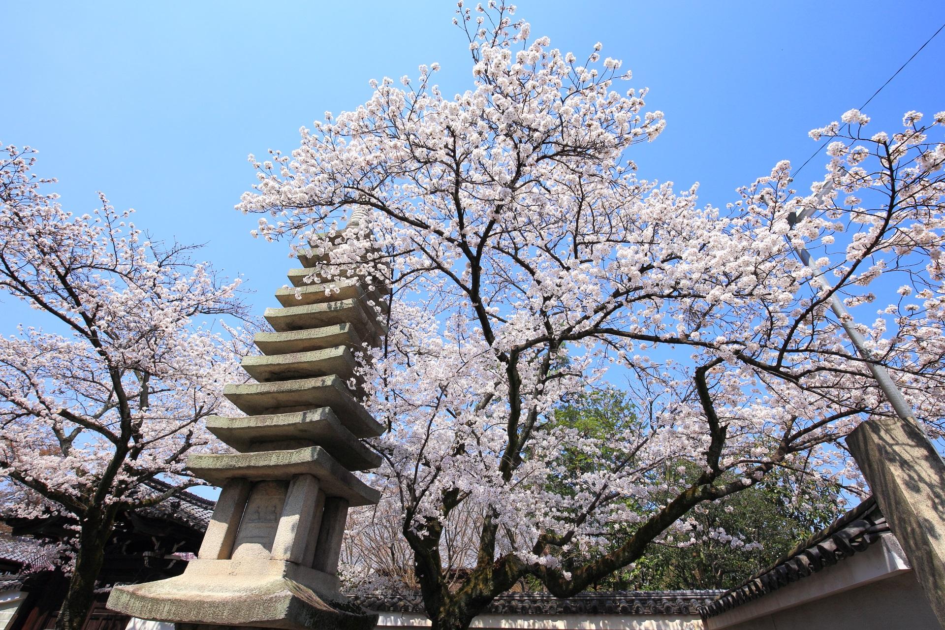 妙顕寺の勅使門付近の石塔と弾ける桜