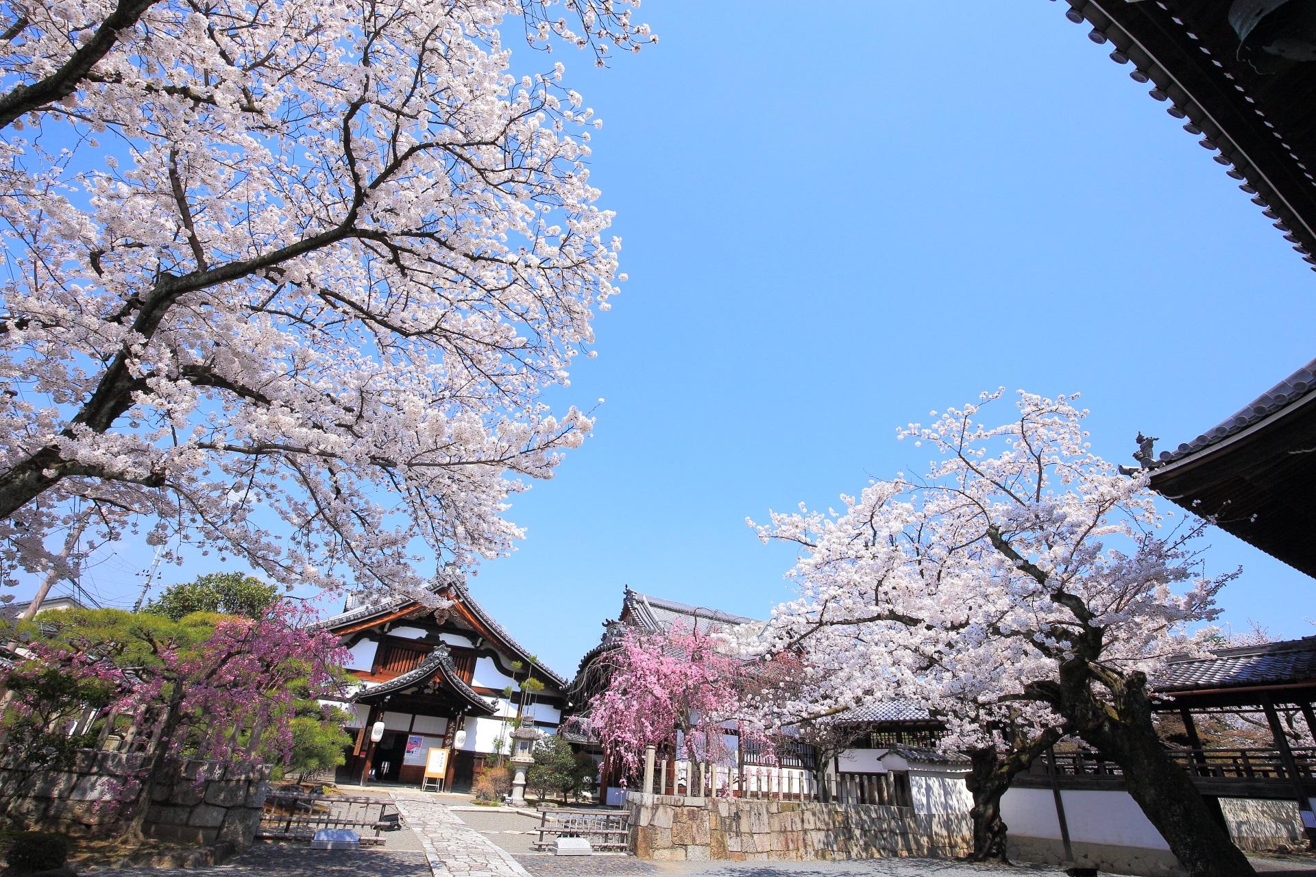 高画質 妙顕寺 桜 写真