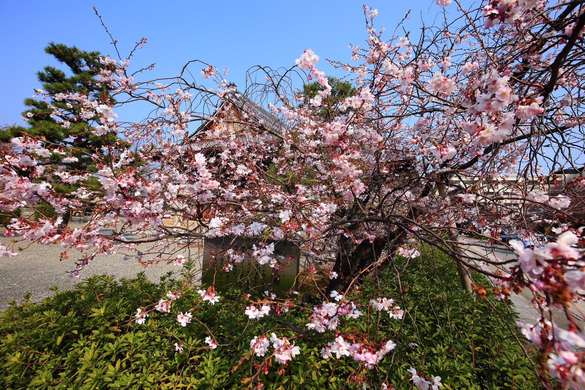 細く独特の枝をしている御会式桜