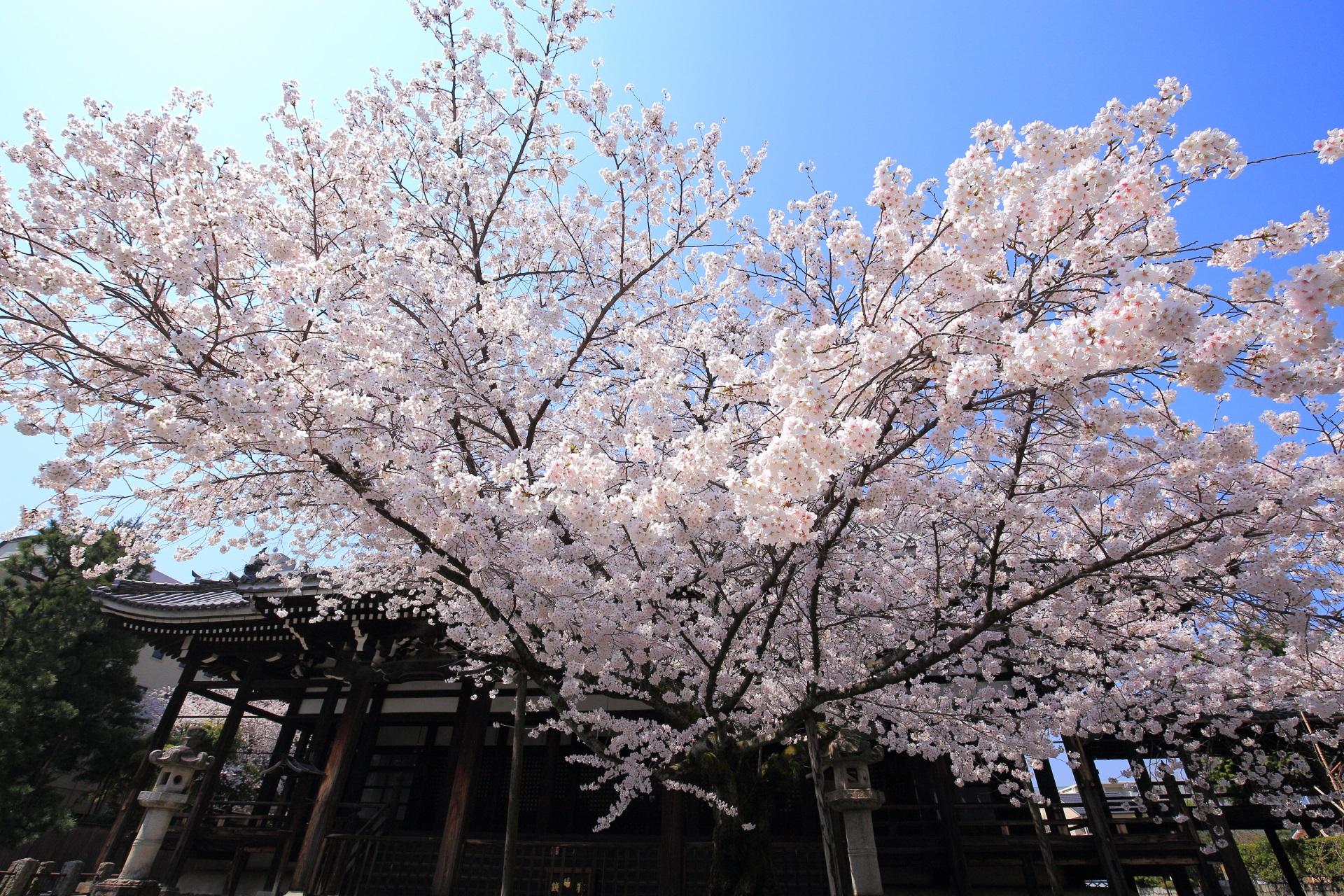 本法寺の極上の桜