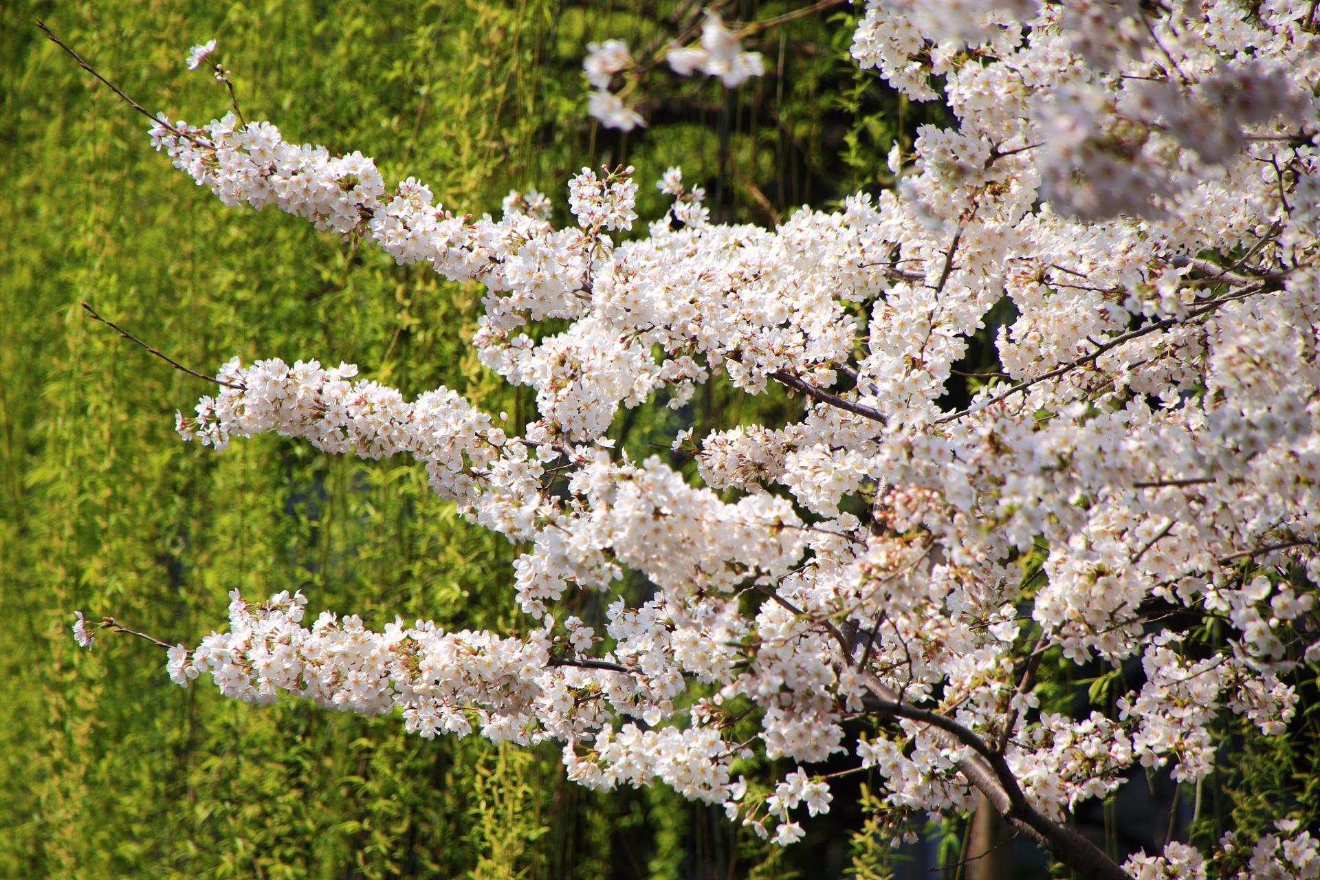 六角堂の緑の柳に映える華やかな桜