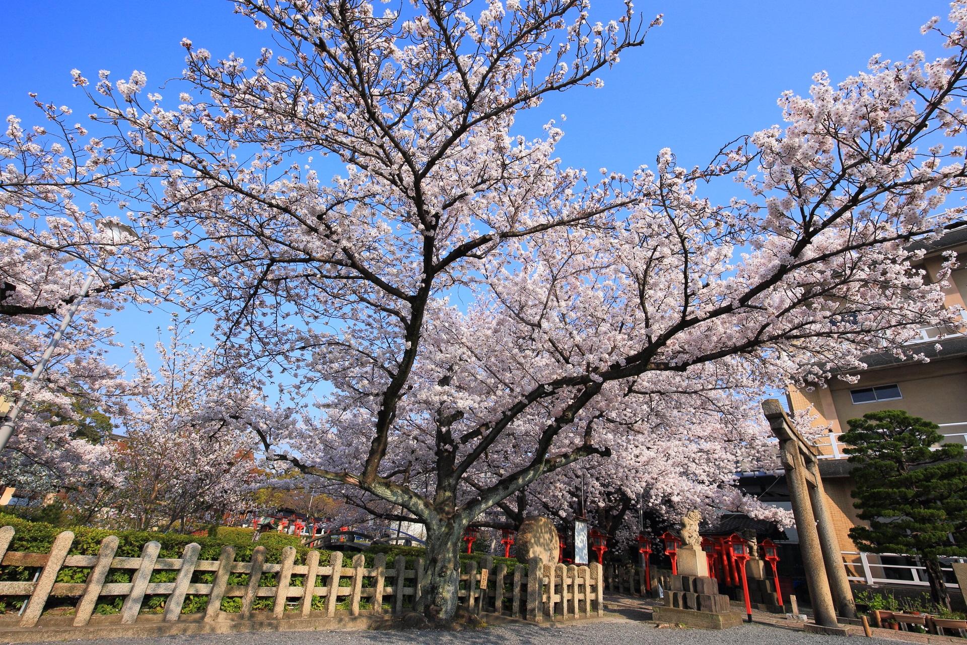 六孫王神社の大きく枝を広げる桜