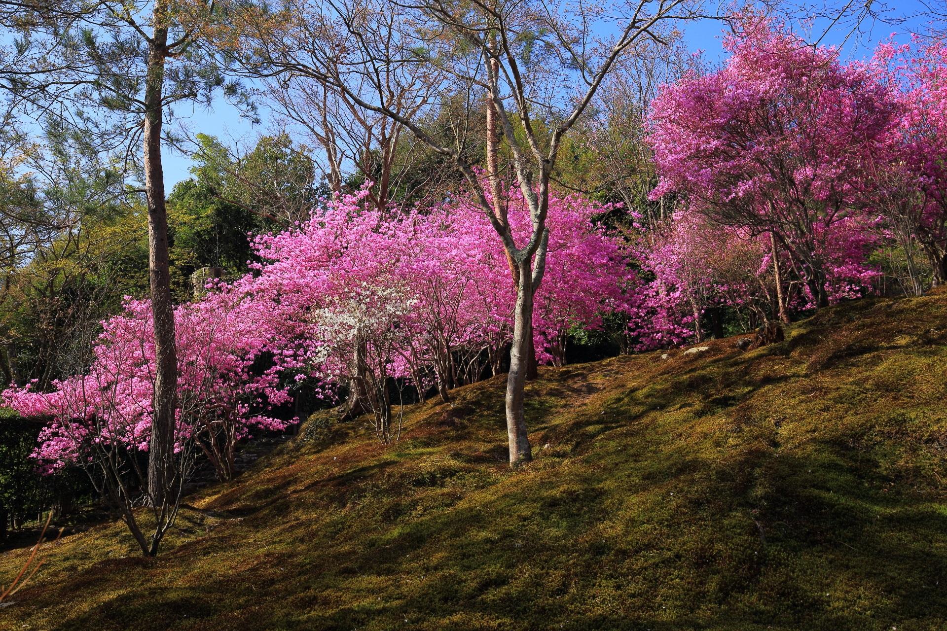 天龍寺の華やかな紫のミツバツツジ