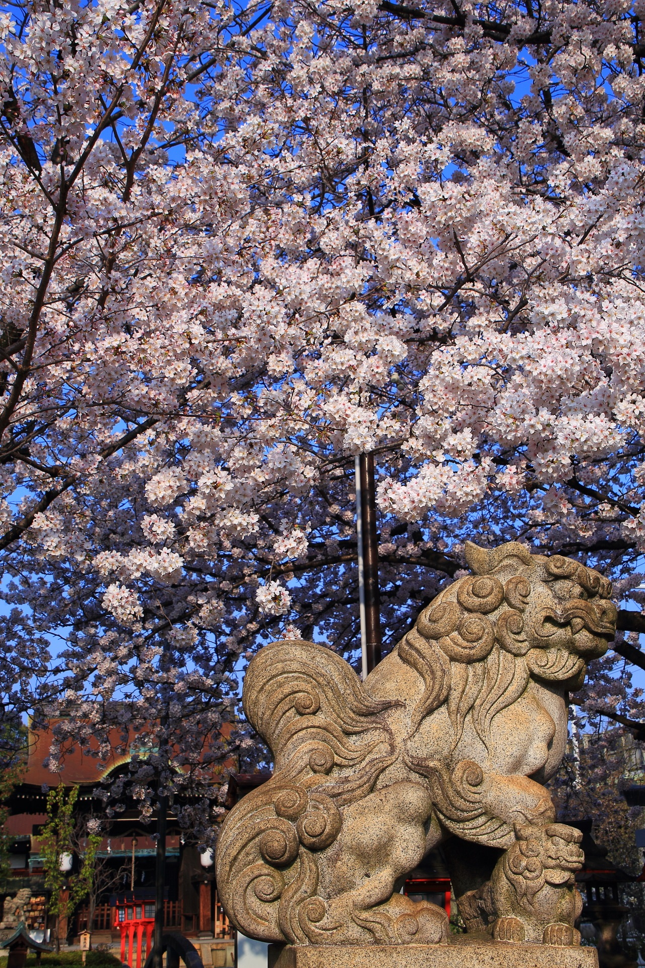六孫王神社の狛犬と桜