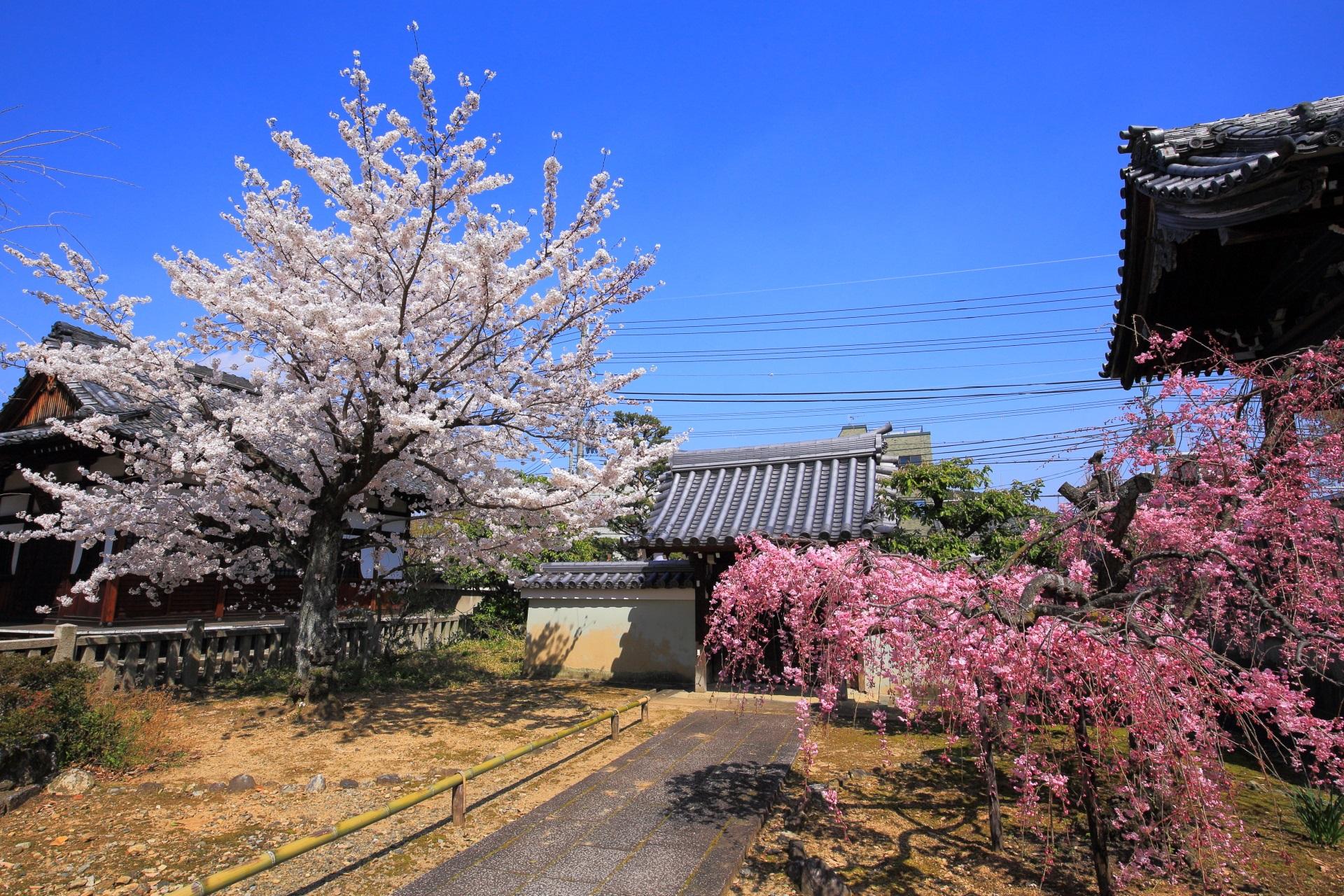 上品蓮台寺の青空に映える春らしい色合いのソメイヨシノと紅しだれ桜