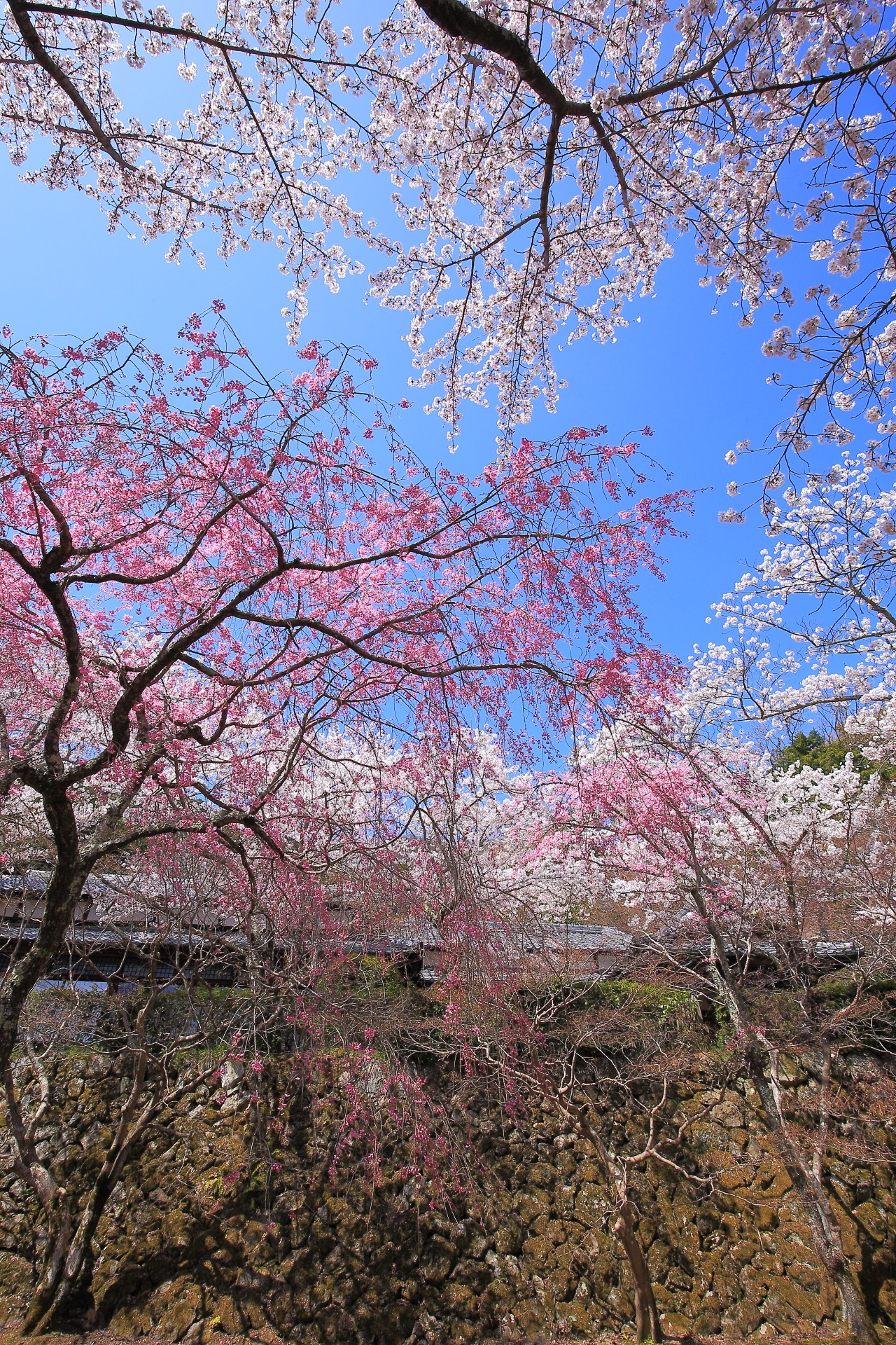 勝持寺の鮮やかなしだれ桜と華やかなソメイヨシノ