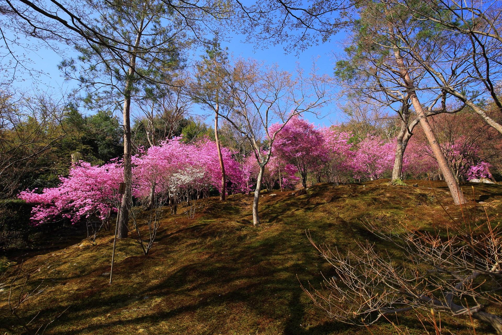 天龍寺桜の曹源池庭園(そうげんちていえん)裏の苔庭のミツバツツジ