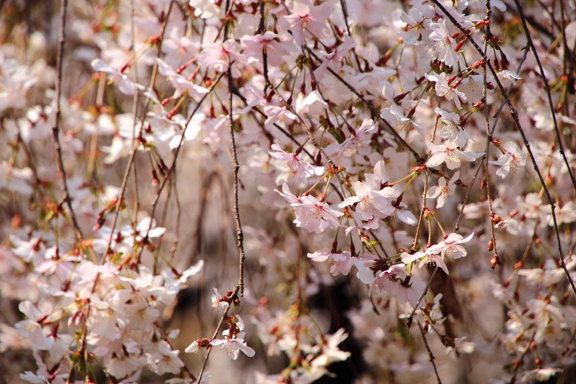 六角堂の繊細で可愛い花を咲かせる御幸桜