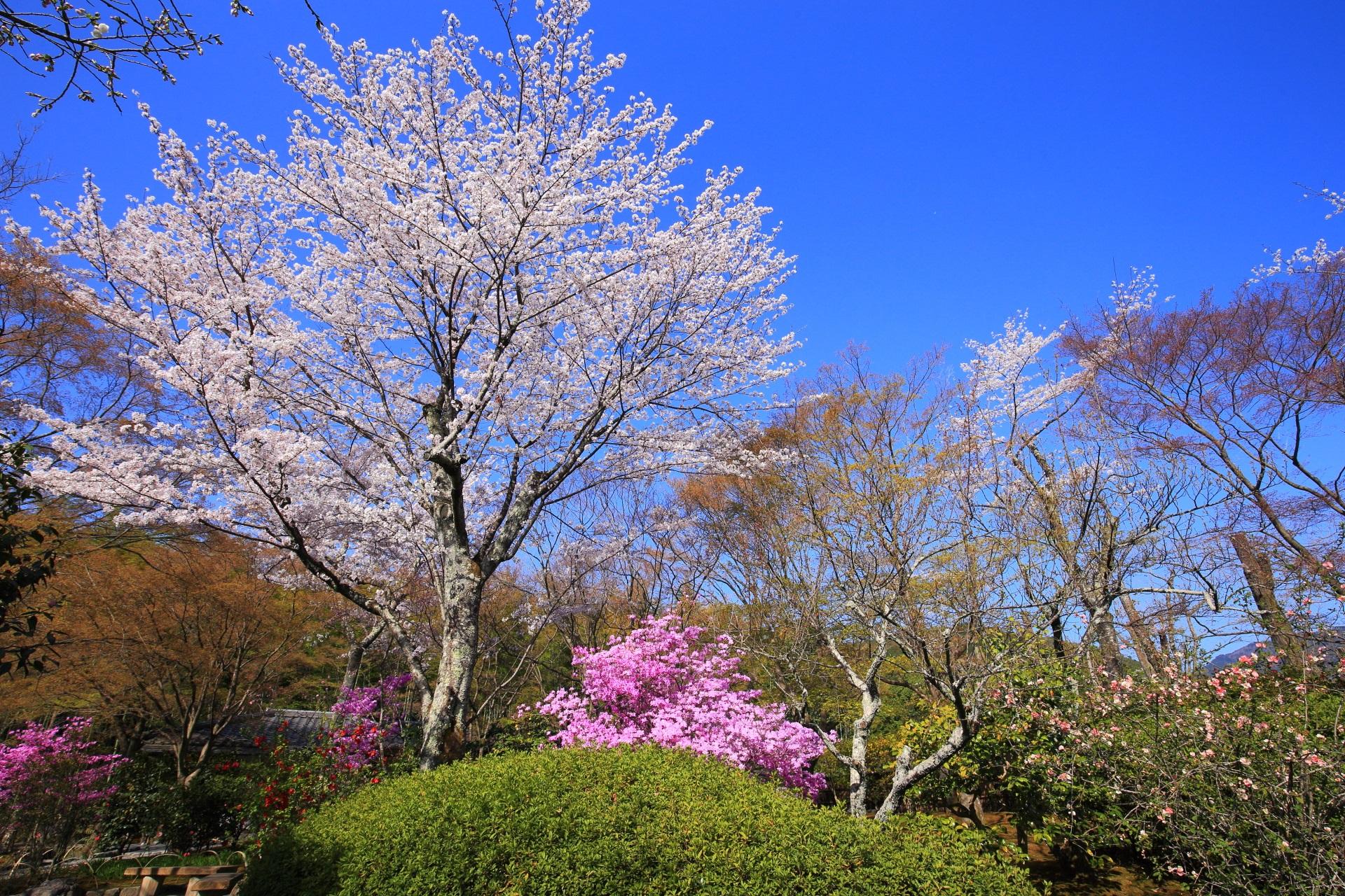 天龍寺の百花苑の桜と春の花々