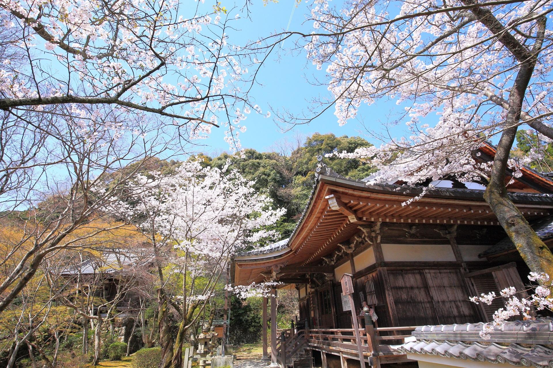 勝持寺の絵になる春の桜の風景